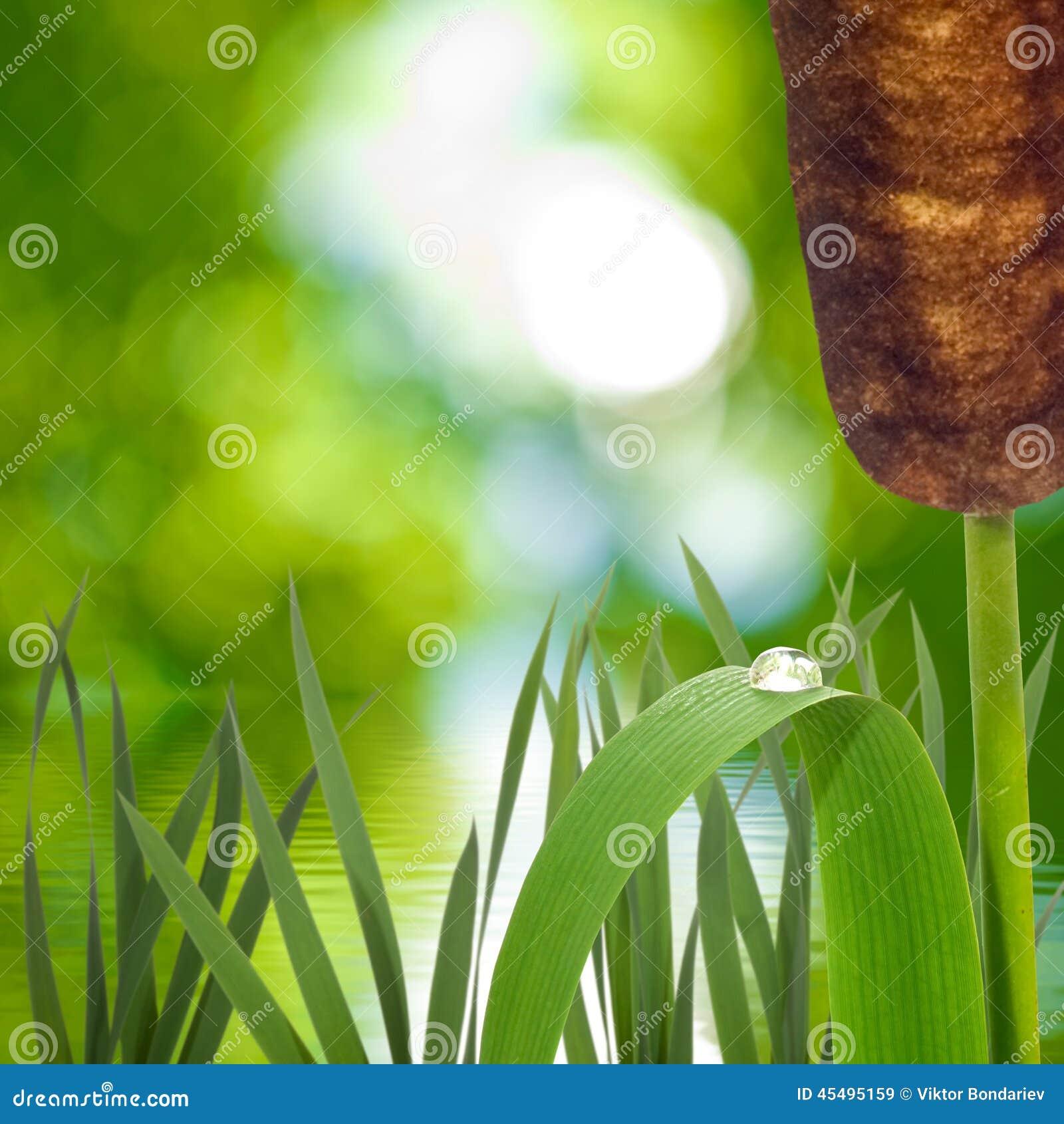 芦苇的图象在水附近的