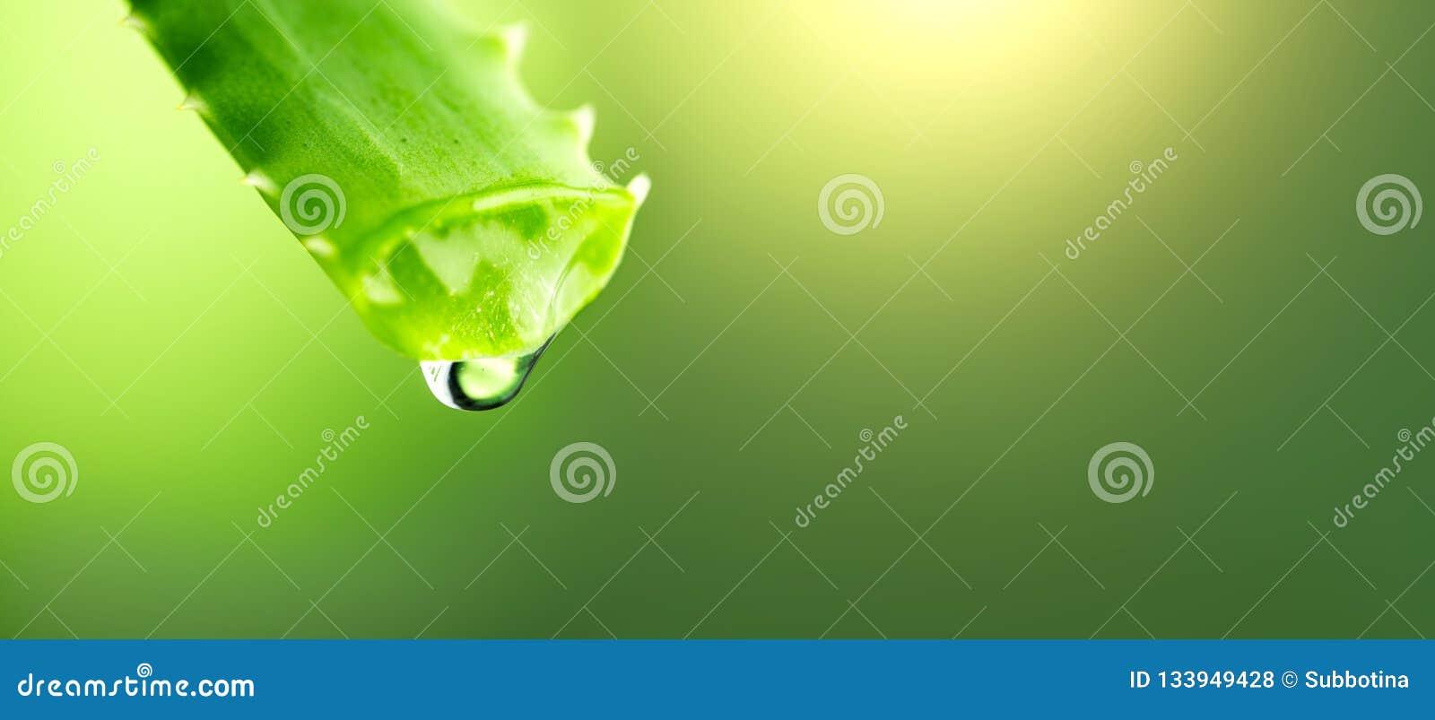 芦荟维拉从芦荟绿色叶子特写镜头的胶凝体水滴 Skincare概念 Aloevera新鲜的汁液宏观射击下落