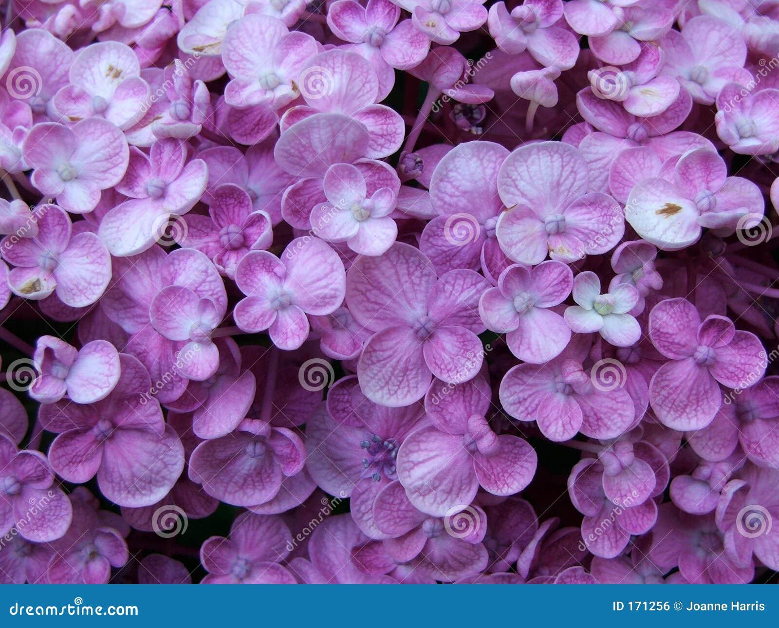 花八仙花属