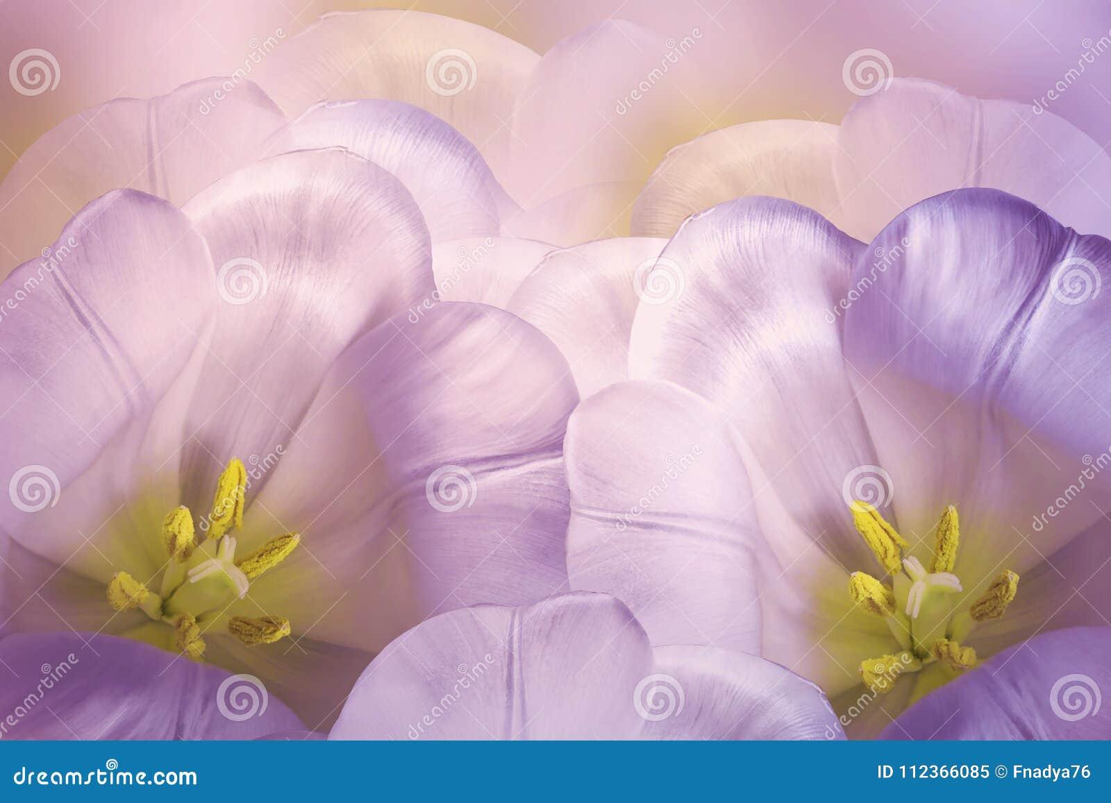 花卉春天з桃红色紫罗兰色背景 花桃红色郁金香开花 特写镜头 2007个看板卡招呼的新年好