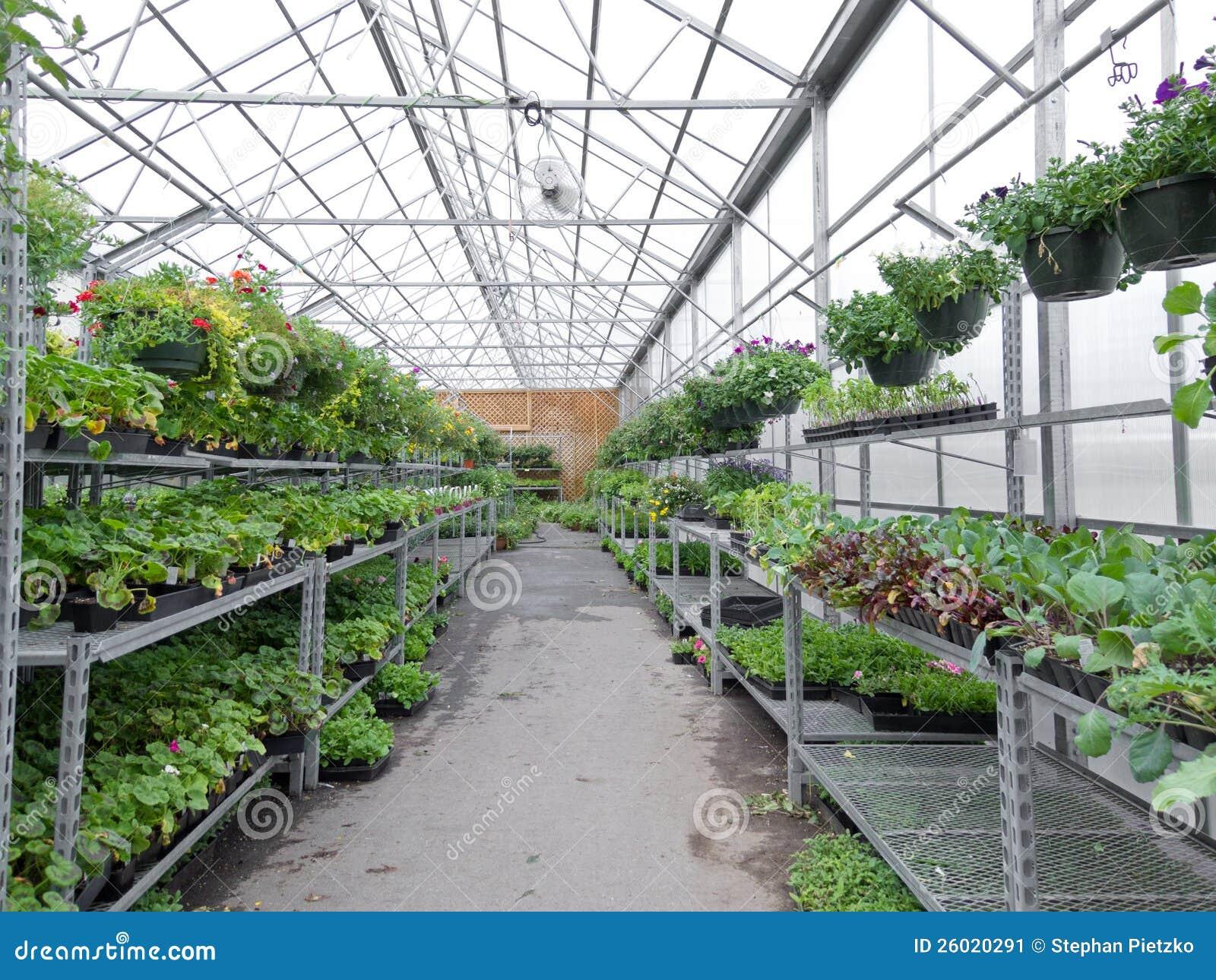 花卉生长在园艺中心箔温室里