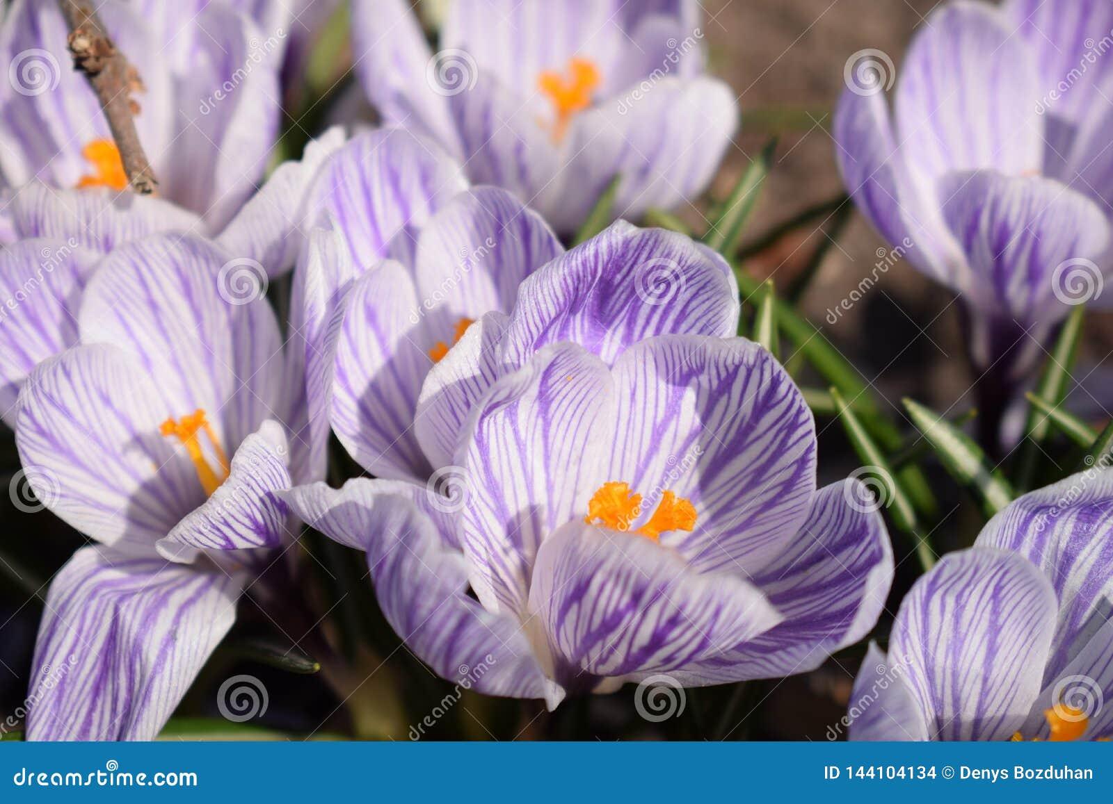 花卉生长番红花在一个公园在一个晴朗的春日