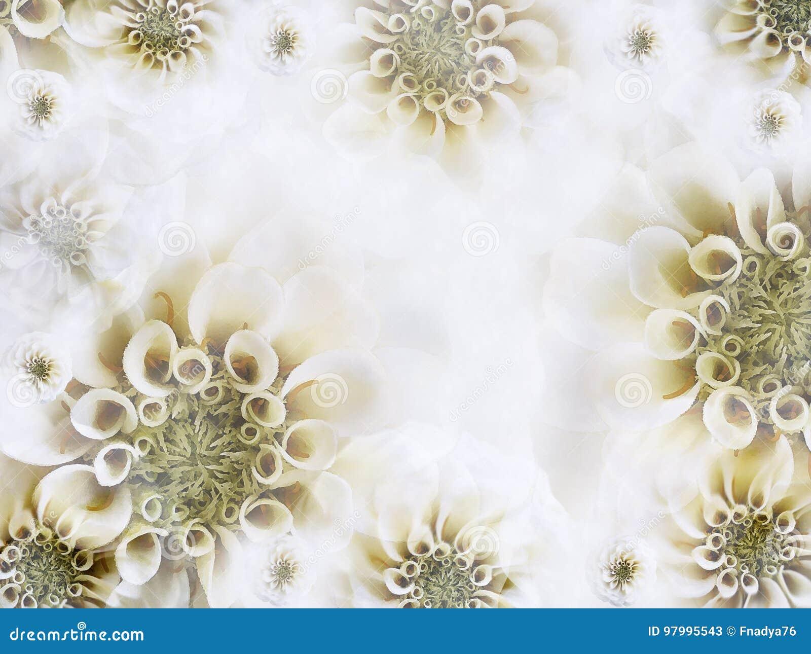 花卉白黄色美好的背景 轻的白花墙纸  背景构成旋花植物空白花的郁金香