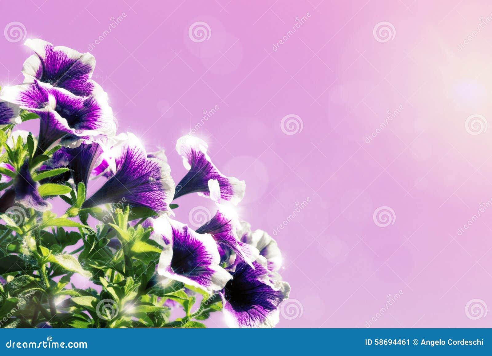 花卉背景装饰紫色和桃红色花喇叭花