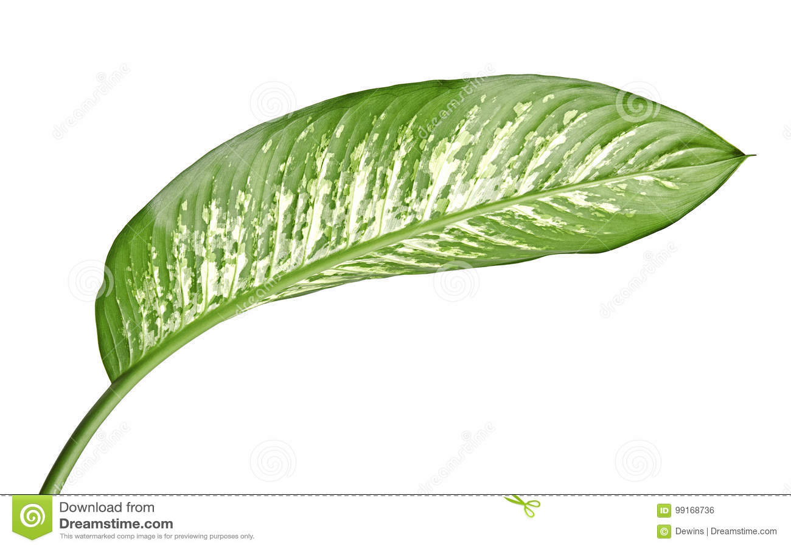 花叶万年青叶子沉默寡言的藤茎、绿色叶子包含白色斑点的和斑点,在白色背景隔绝的热带叶子