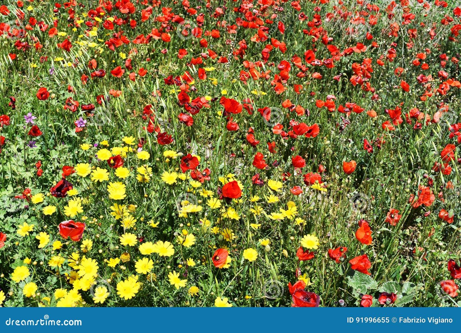 花和红色鸦片的领域