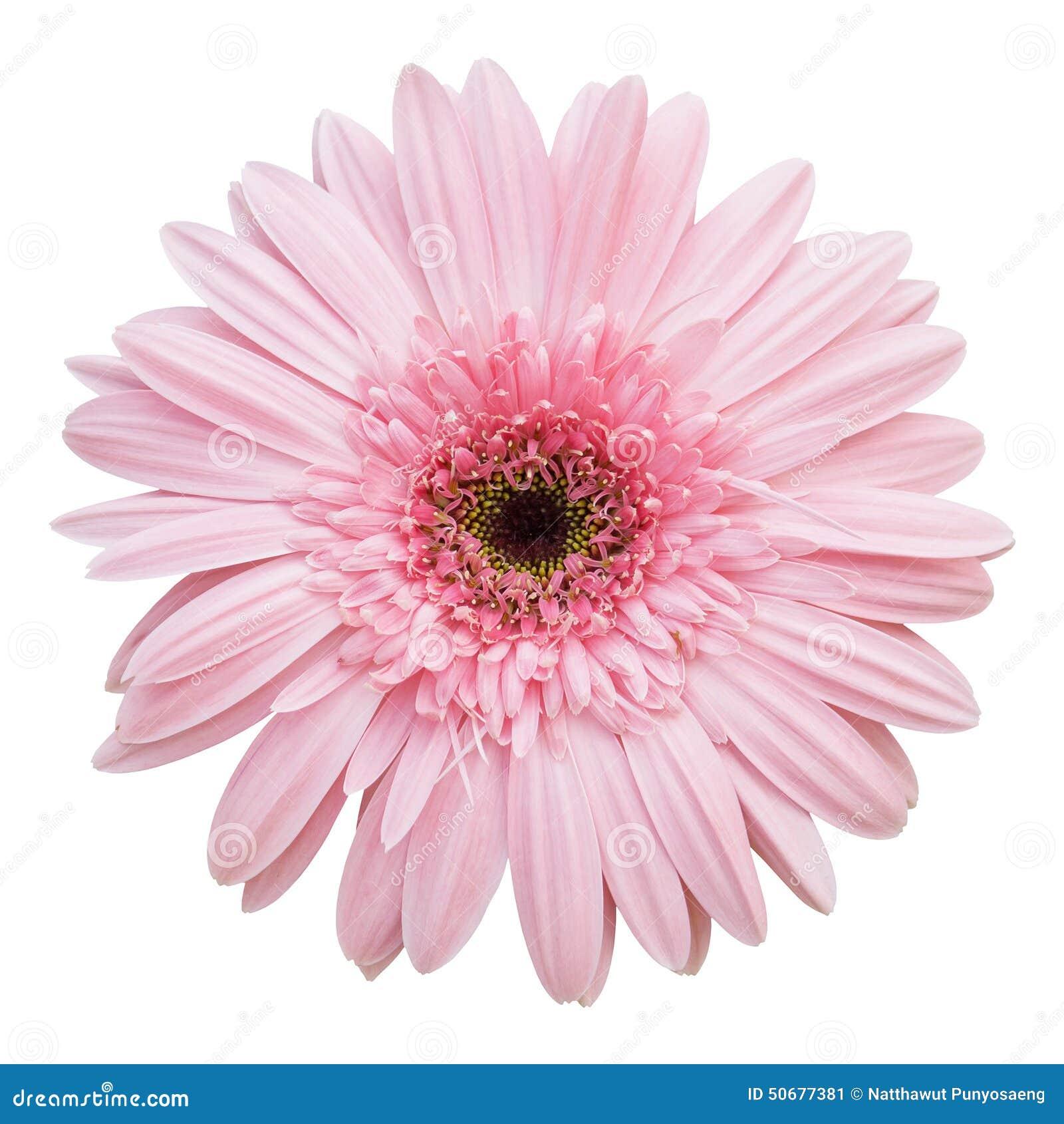 Download 花大丁草查出的桃红色白色 库存图片. 图片 包括有 庭院, gerber, 颜色, 装饰, 开花的, 新鲜 - 50677381
