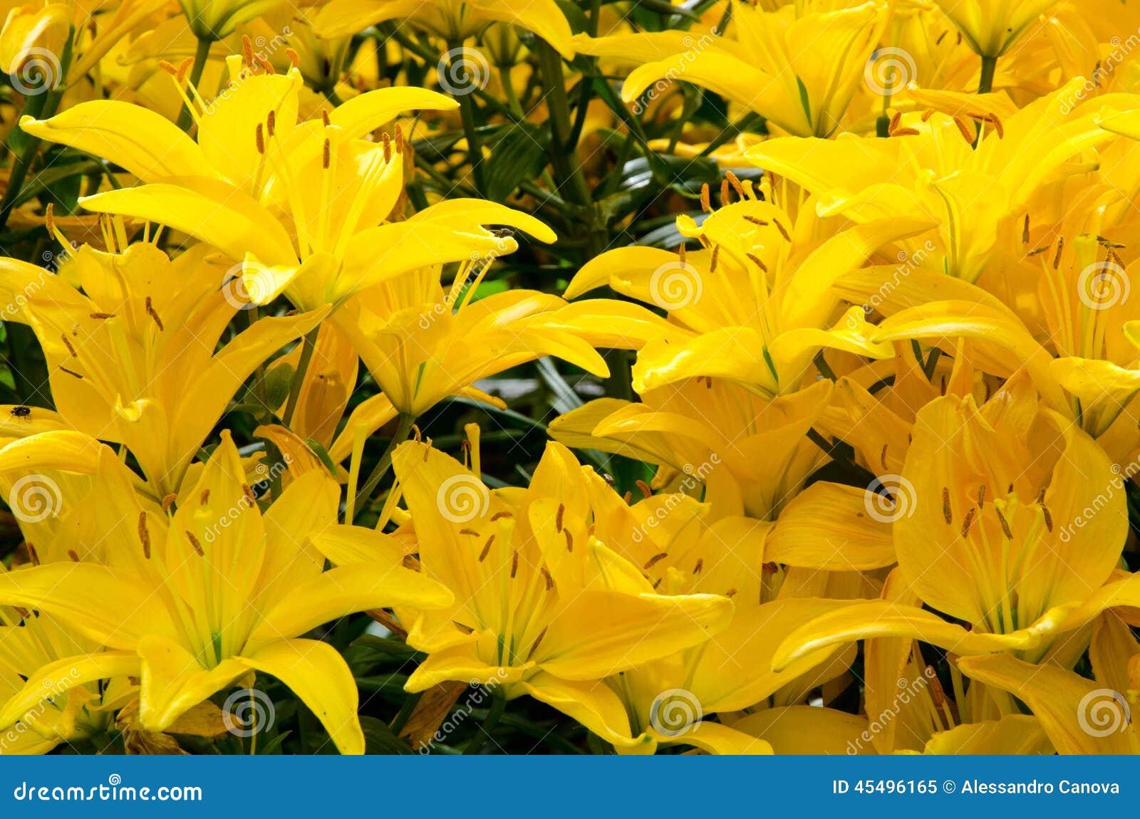 花床开花的黄色百合