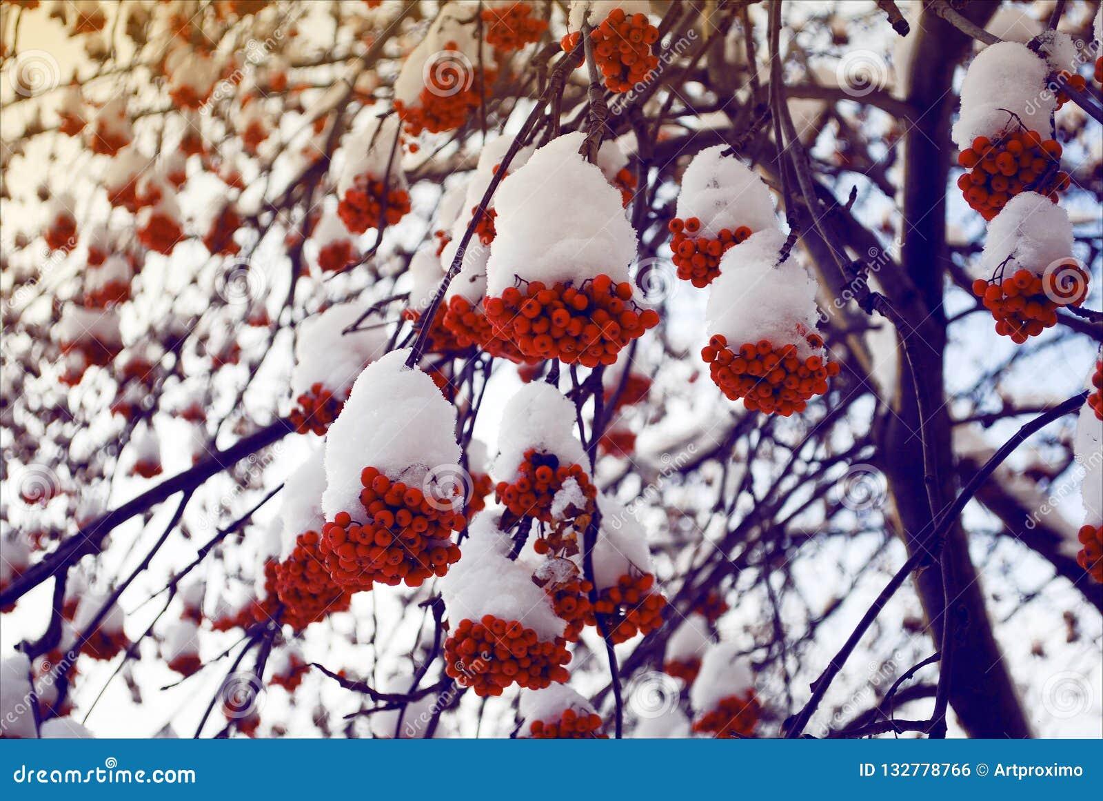 花揪捆成一束在分支的雪