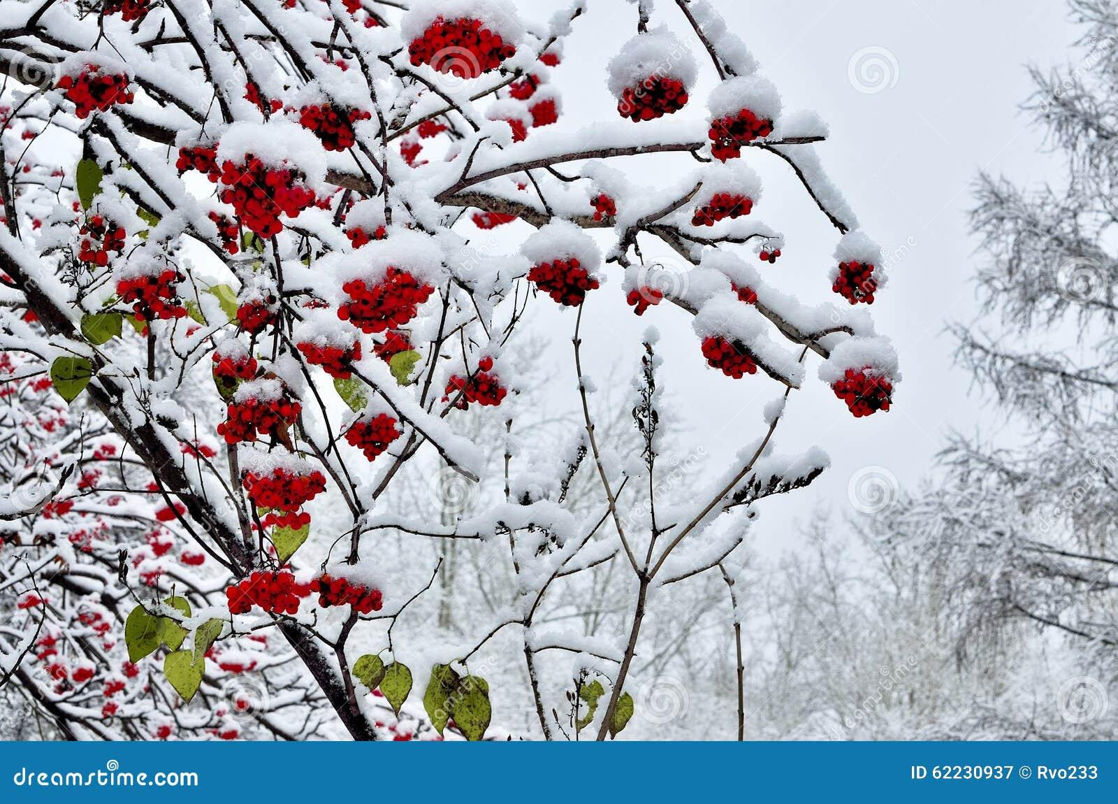 花揪红色莓果和积雪几片前片绿色的叶子