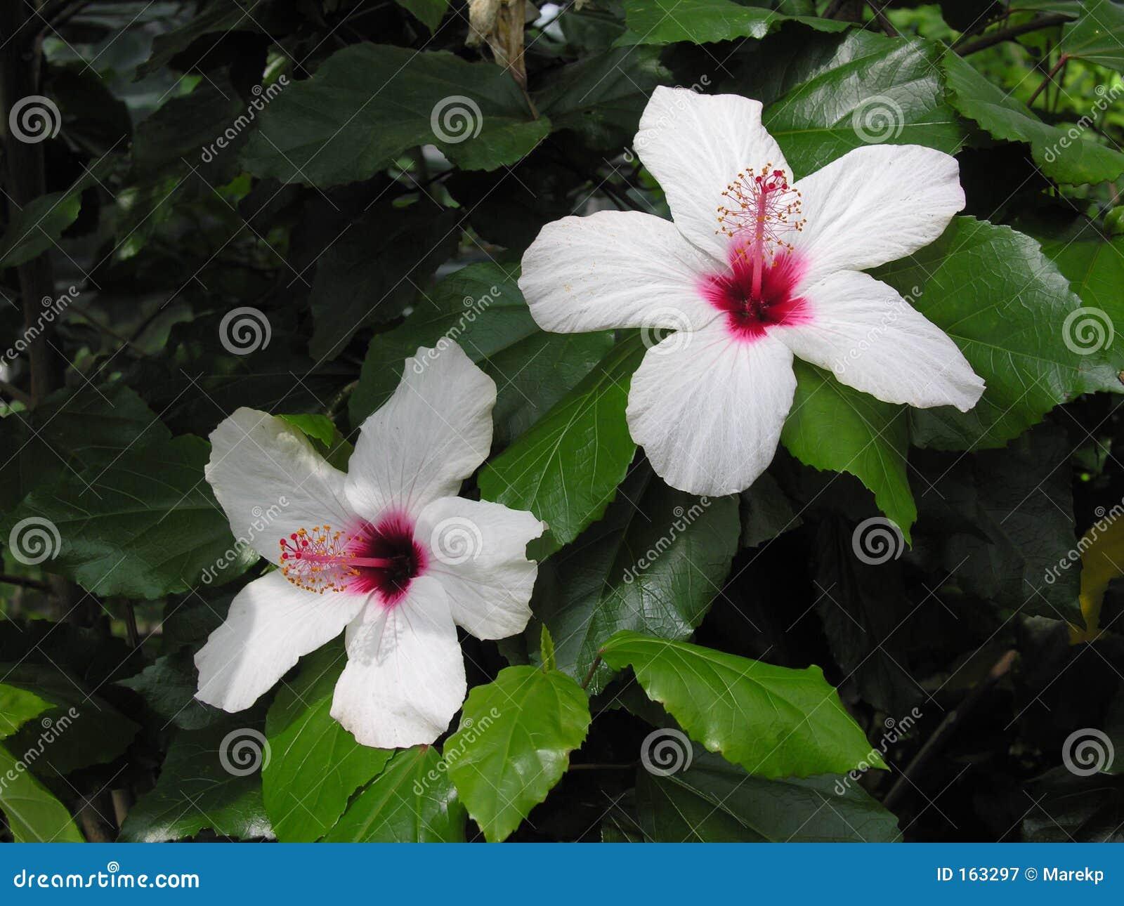 花木槿粉红色白色
