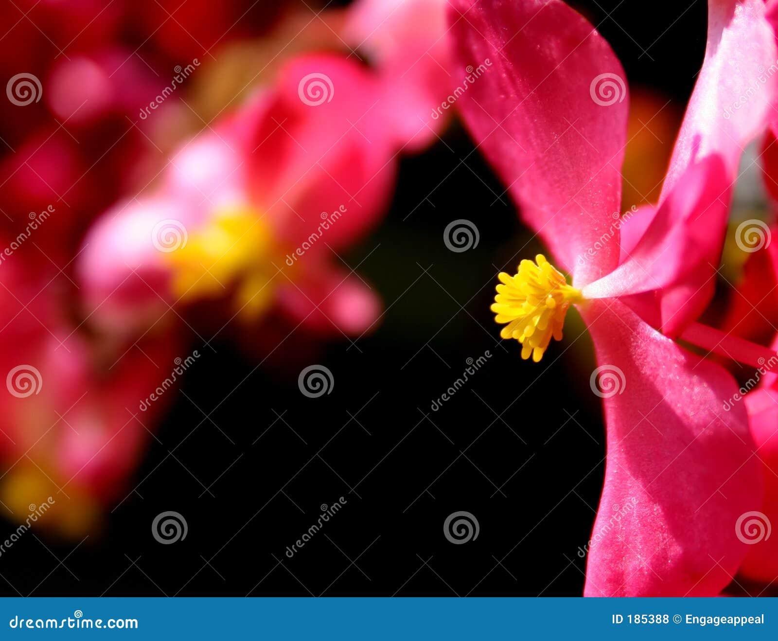 花桃红色黄色