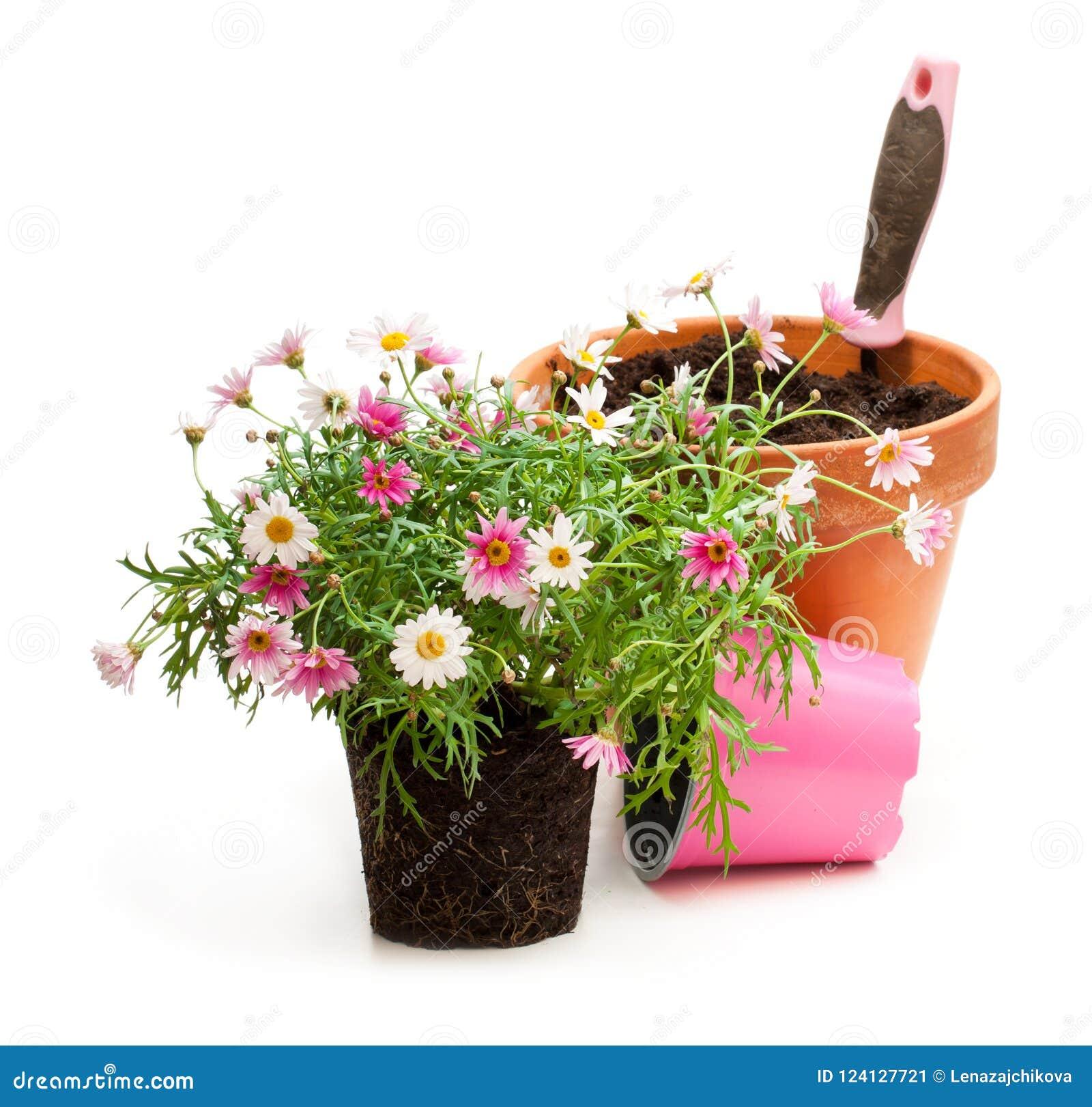 花盆的桃红色雏菊延命菊植物在白色b