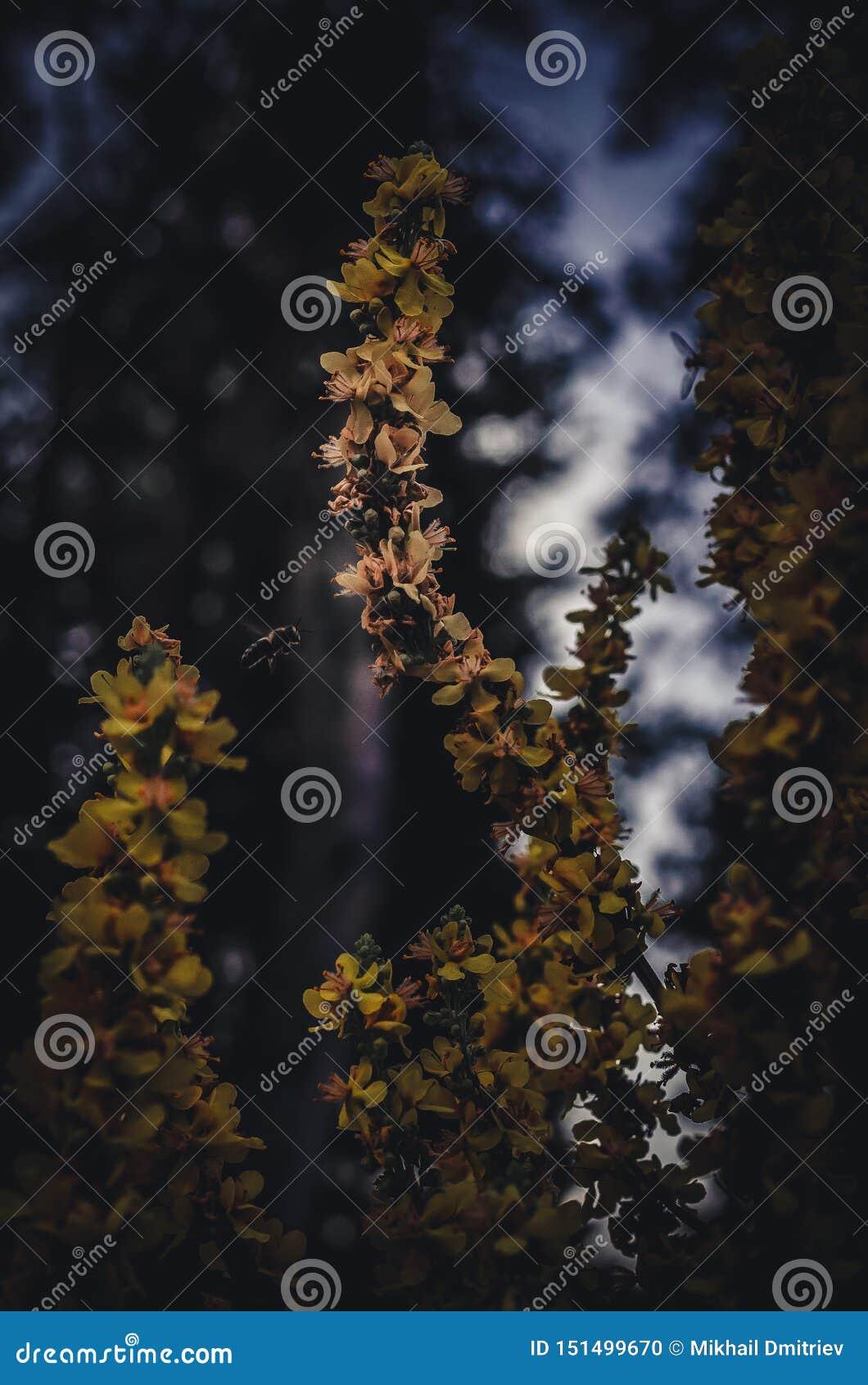 花粉的蜜蜂飞行对龙牙草Agrimónia eupatória黄色花  昆虫从在的野花收集花蜜