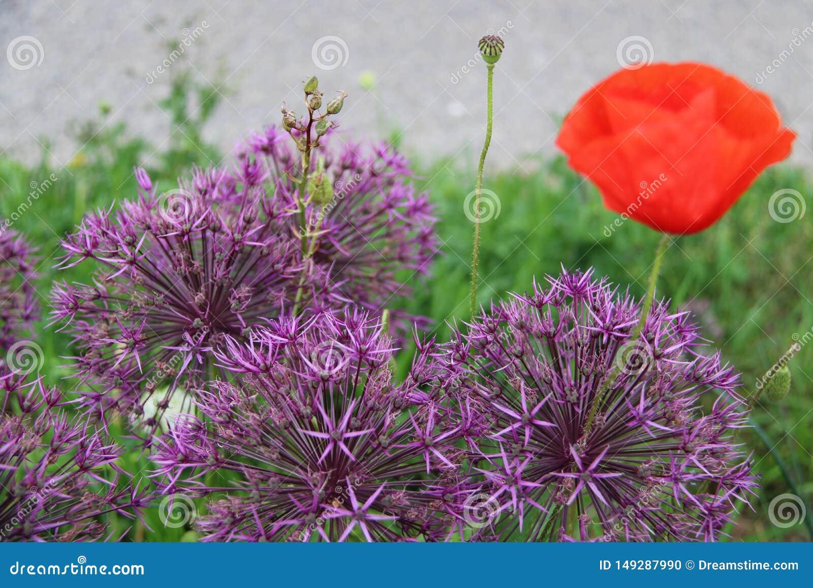 花紫色红色葱属