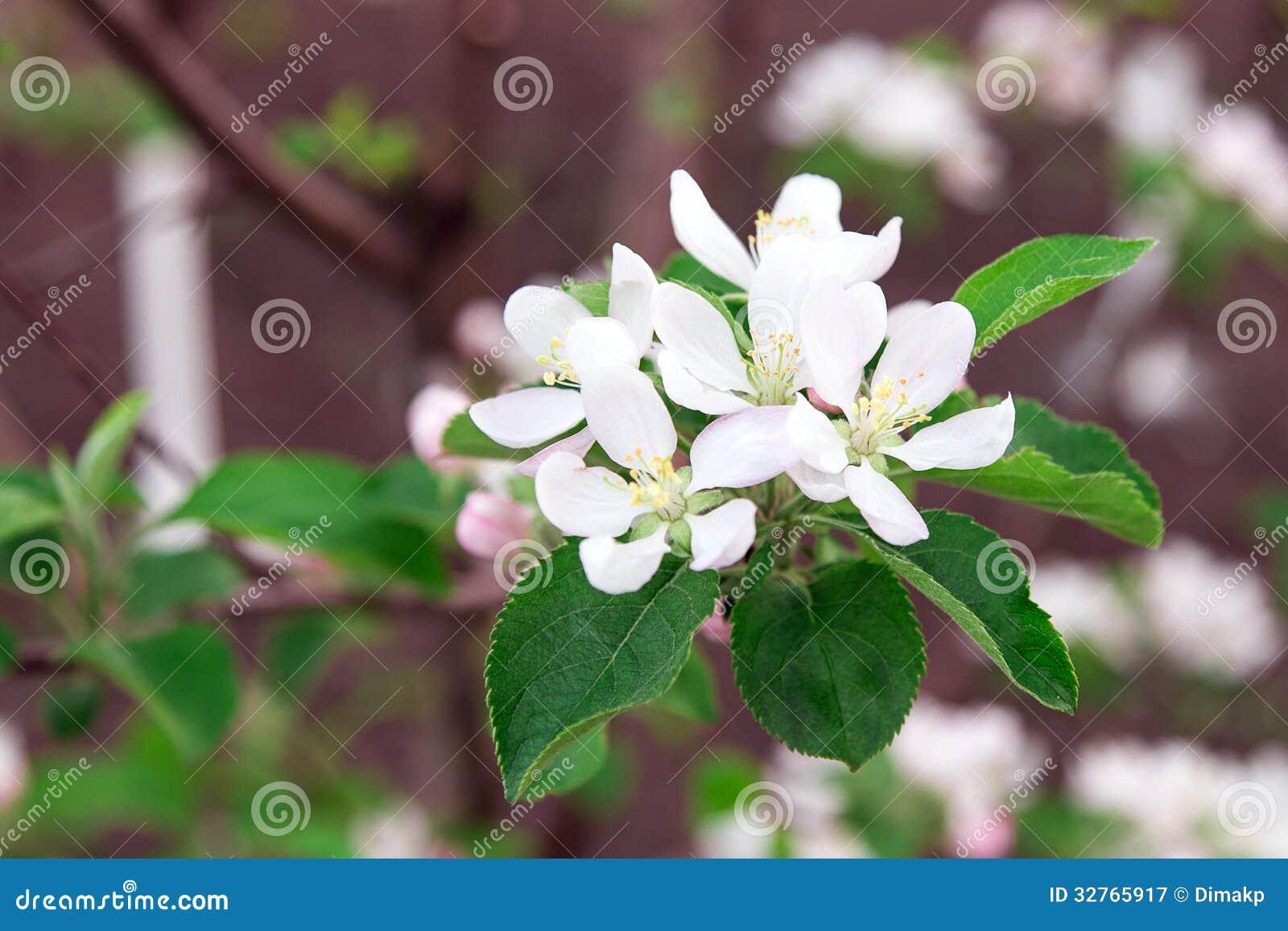 开花苹果树绿色叶子,白色瓣.图片