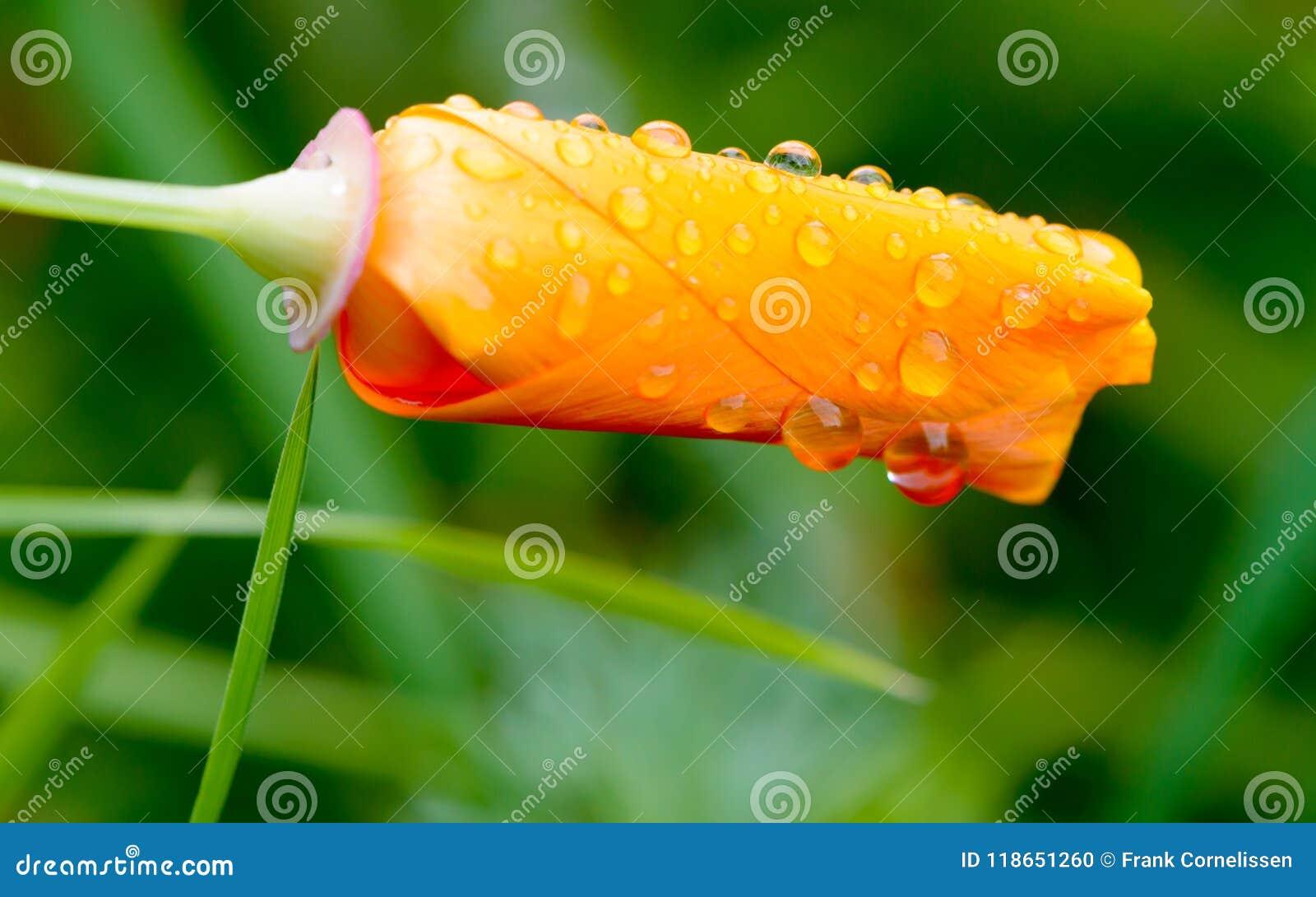 花菱草保护雨的瓣