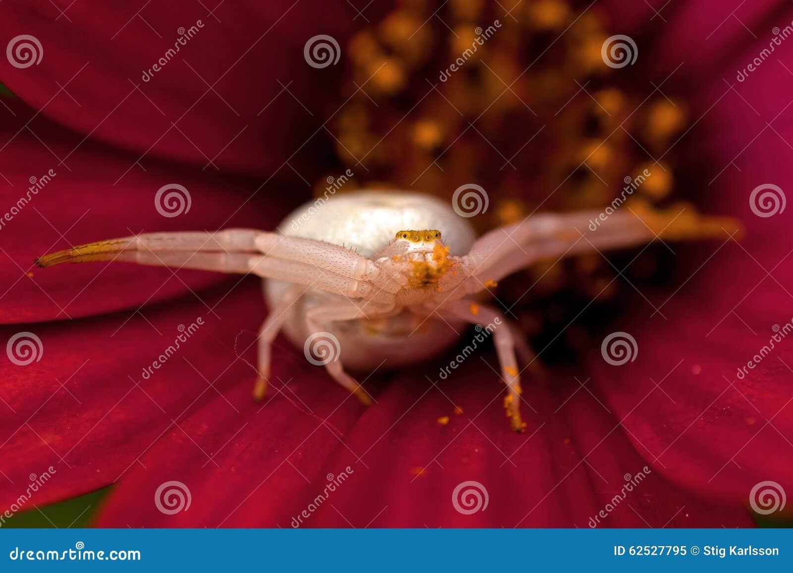 花螃蟹蜘蛛, Thomisidae Misumena vatia