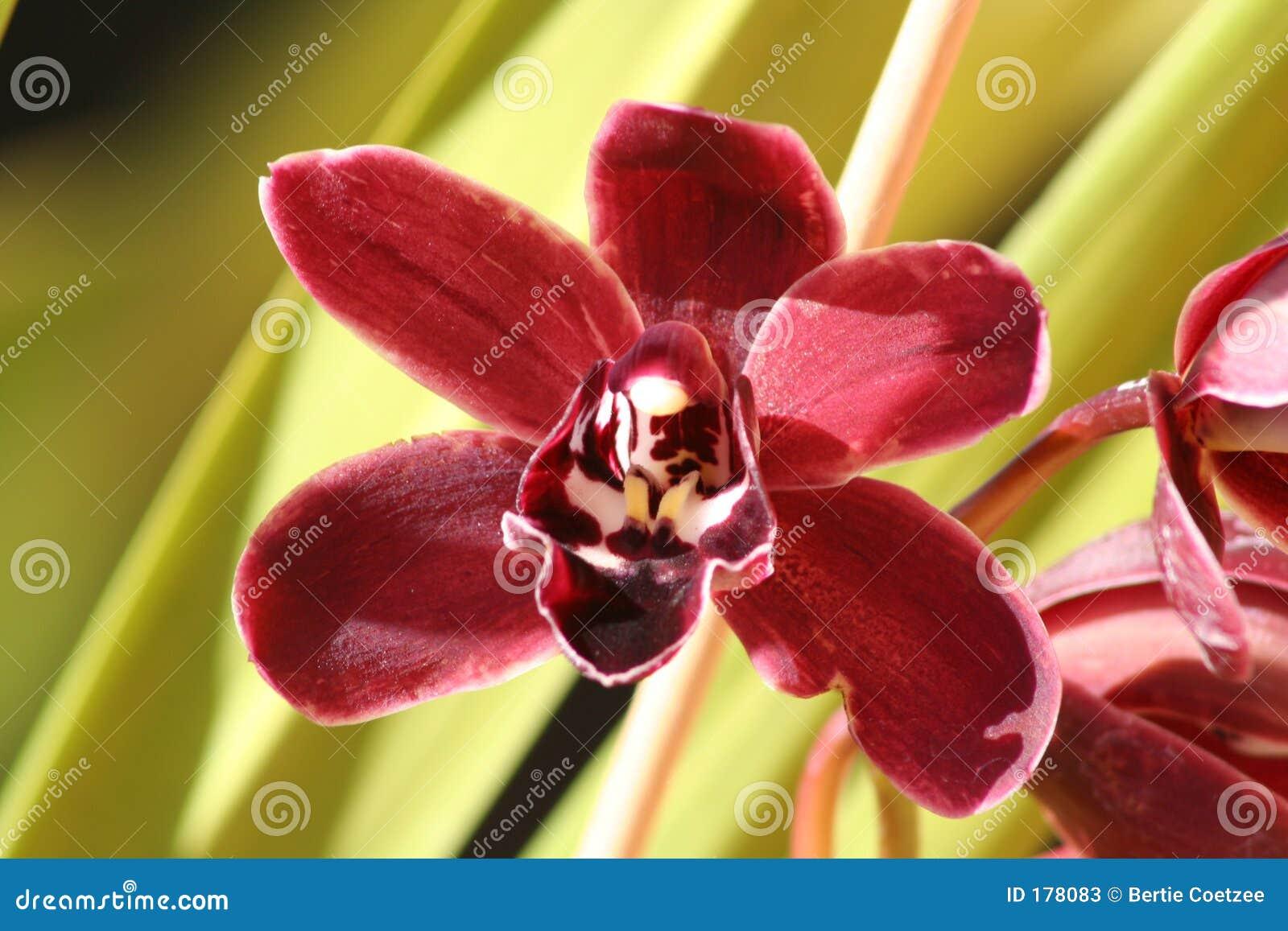 花褐红的兰花