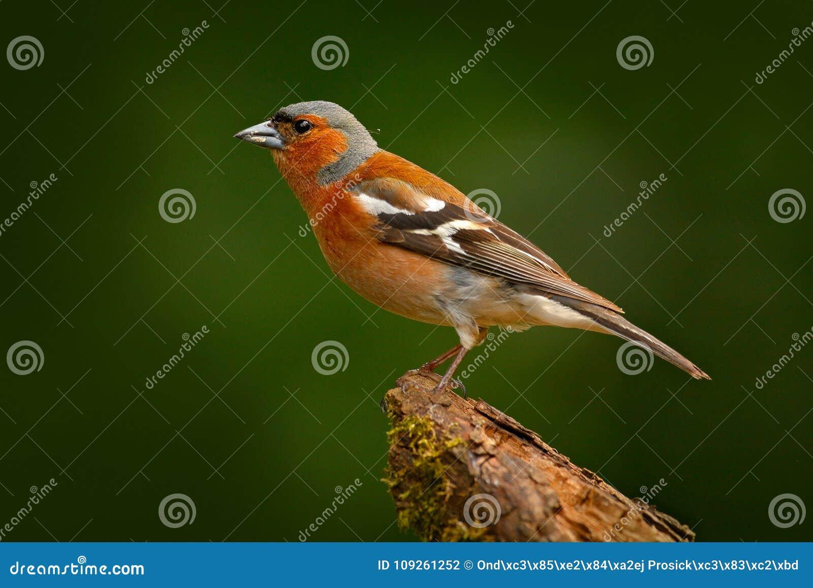 花鸡, Fringilla coelebs,橙色歌手坐好的绿色地衣树枝与,在自然森林habi的小的鸟