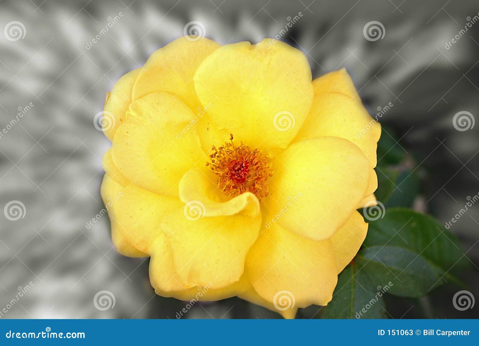 花黄色缩放