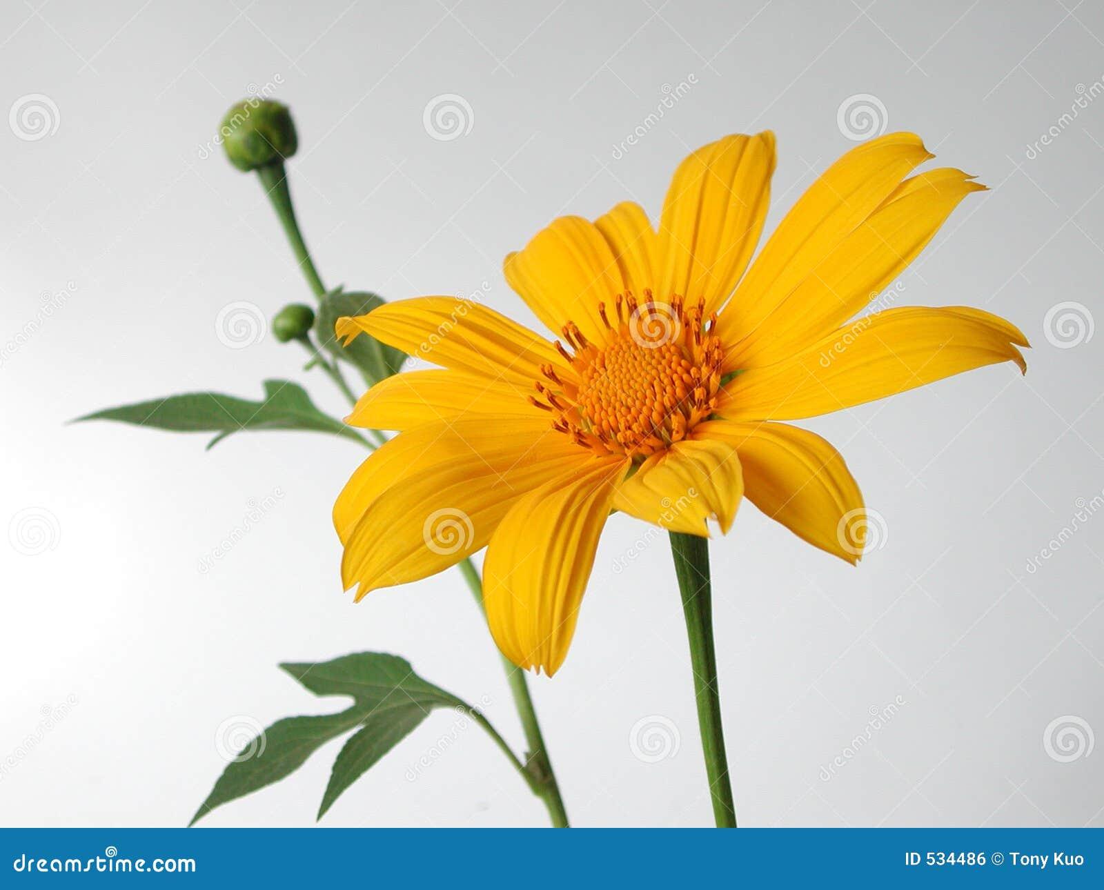 Download 花黄色 库存照片. 图片 包括有 镶边, 春天, 精美, 复活节, 相当, 气味, 理想, 照亮, 植物群, 可爱 - 534486