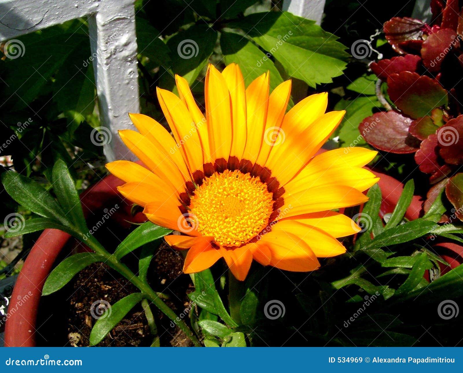 Download 花黄色 库存图片. 图片 包括有 黄色, 庭院, 绽放, 平衡, 华丽, 春天, 雏菊, 晒裂 - 534969