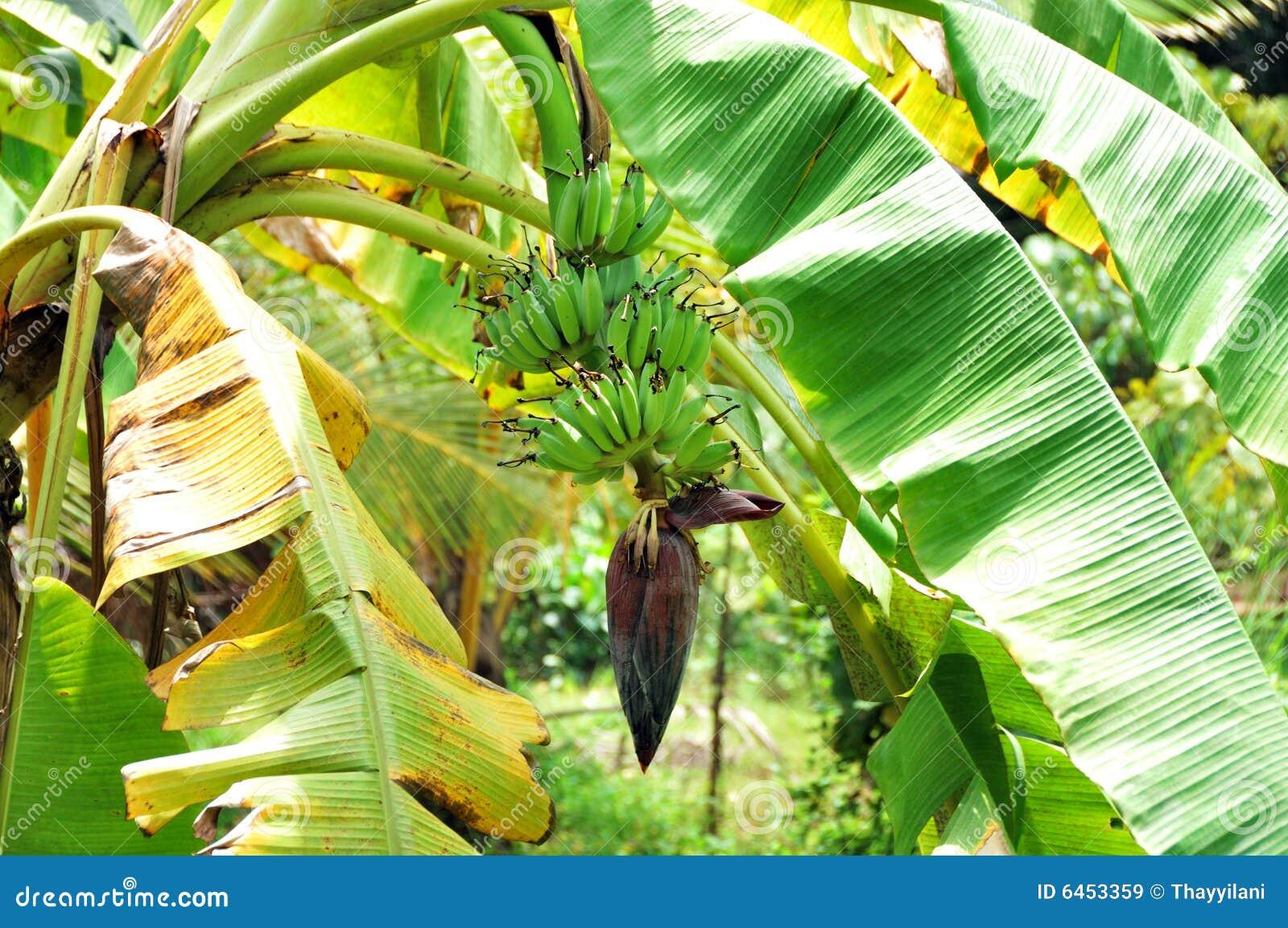 花paradisiaca大蕉
