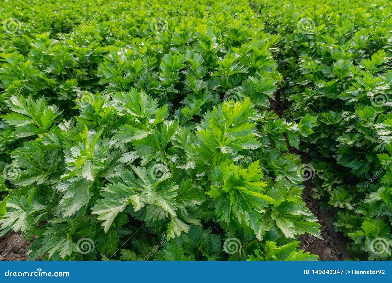 芹菜种植农业领域