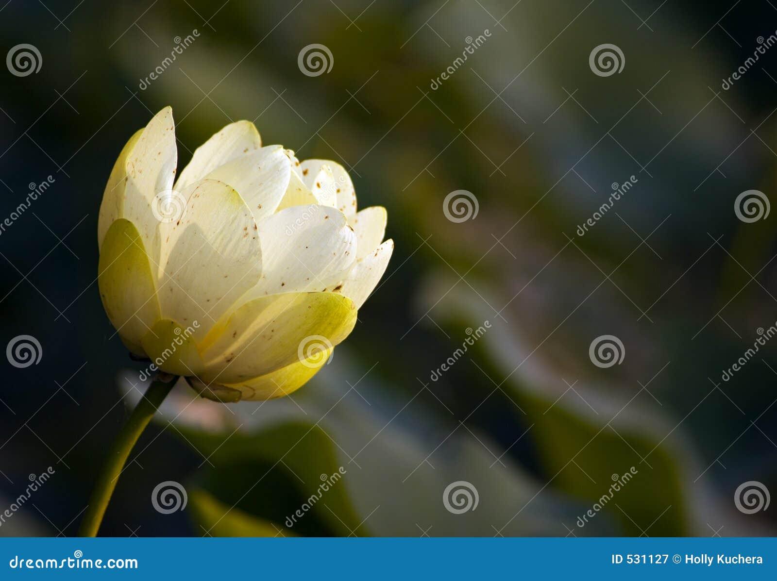 Download 芽水平的百合星莲属odorata水 库存图片. 图片 包括有 绽放, 平静, 仍然, 平安, 芬芳, 关闭, 黄色 - 531127