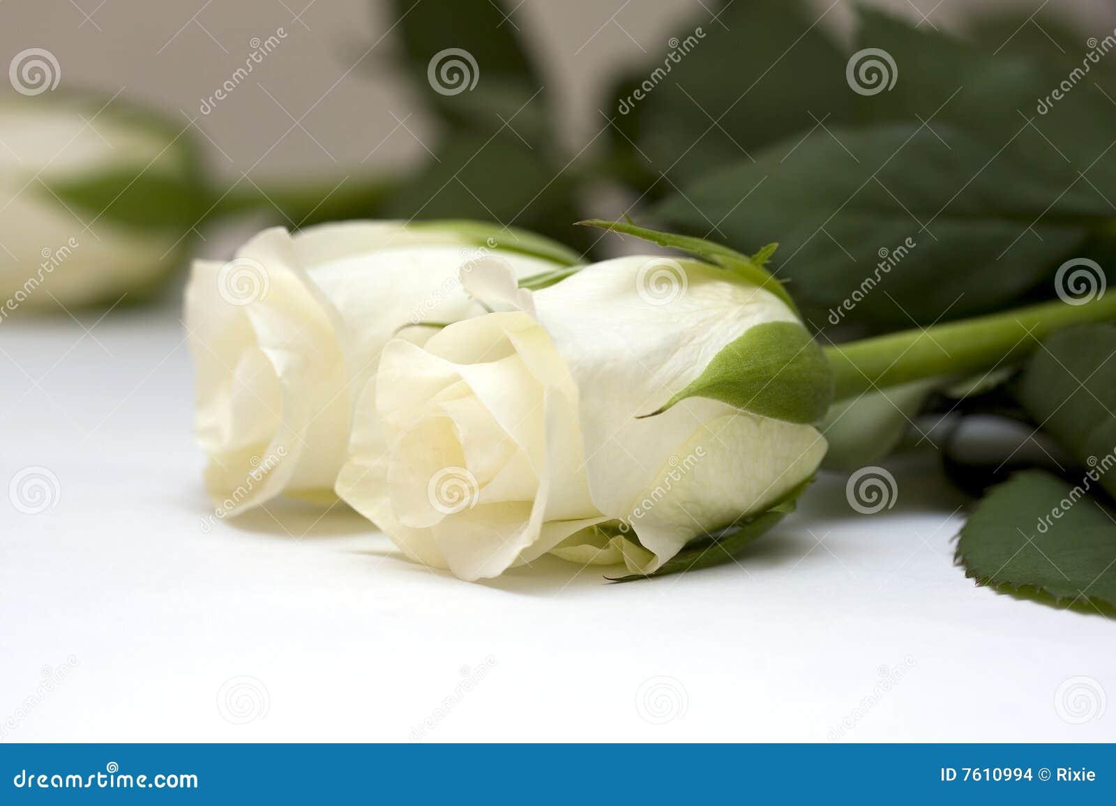 芽玫瑰白色