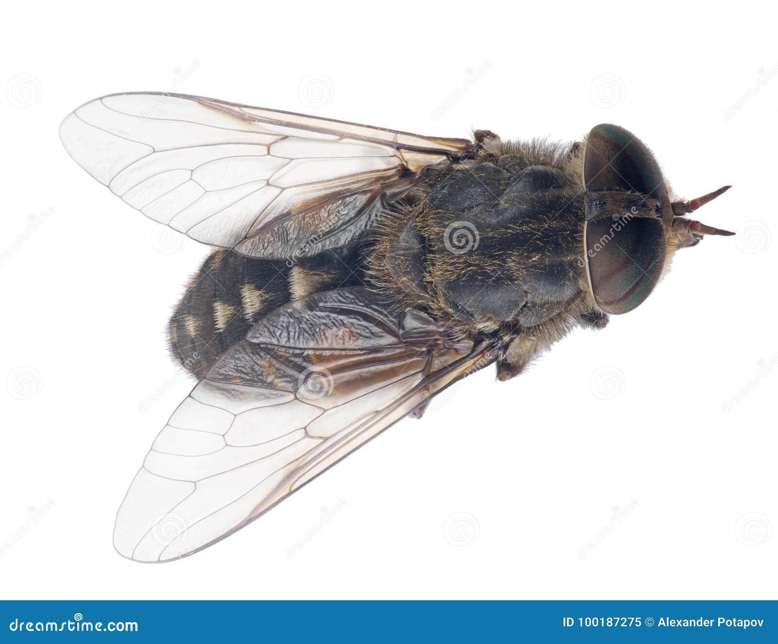 苍白巨型马蝇顶视图