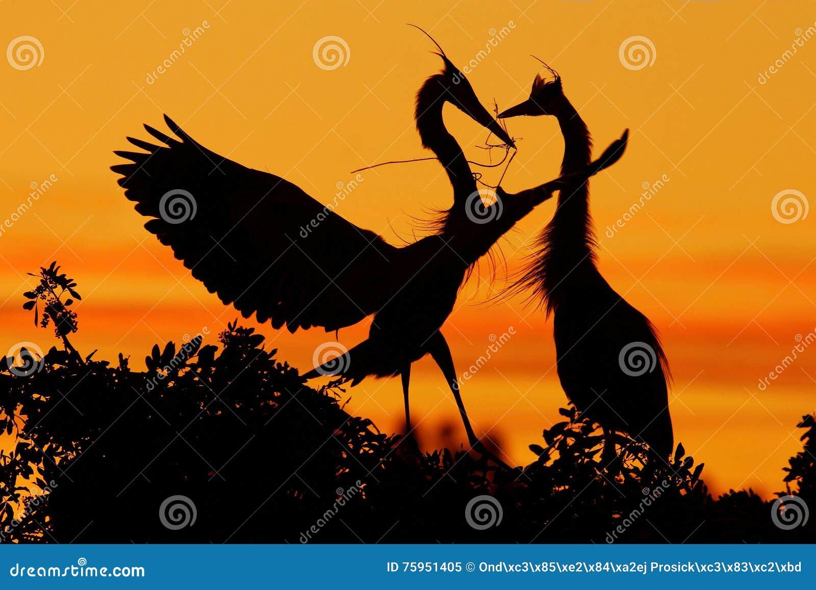 苍鹭二 在树的爱与橙色日落 从自然的野生生物场面 在岩石峭壁的美丽的鸟 美丽的鸟