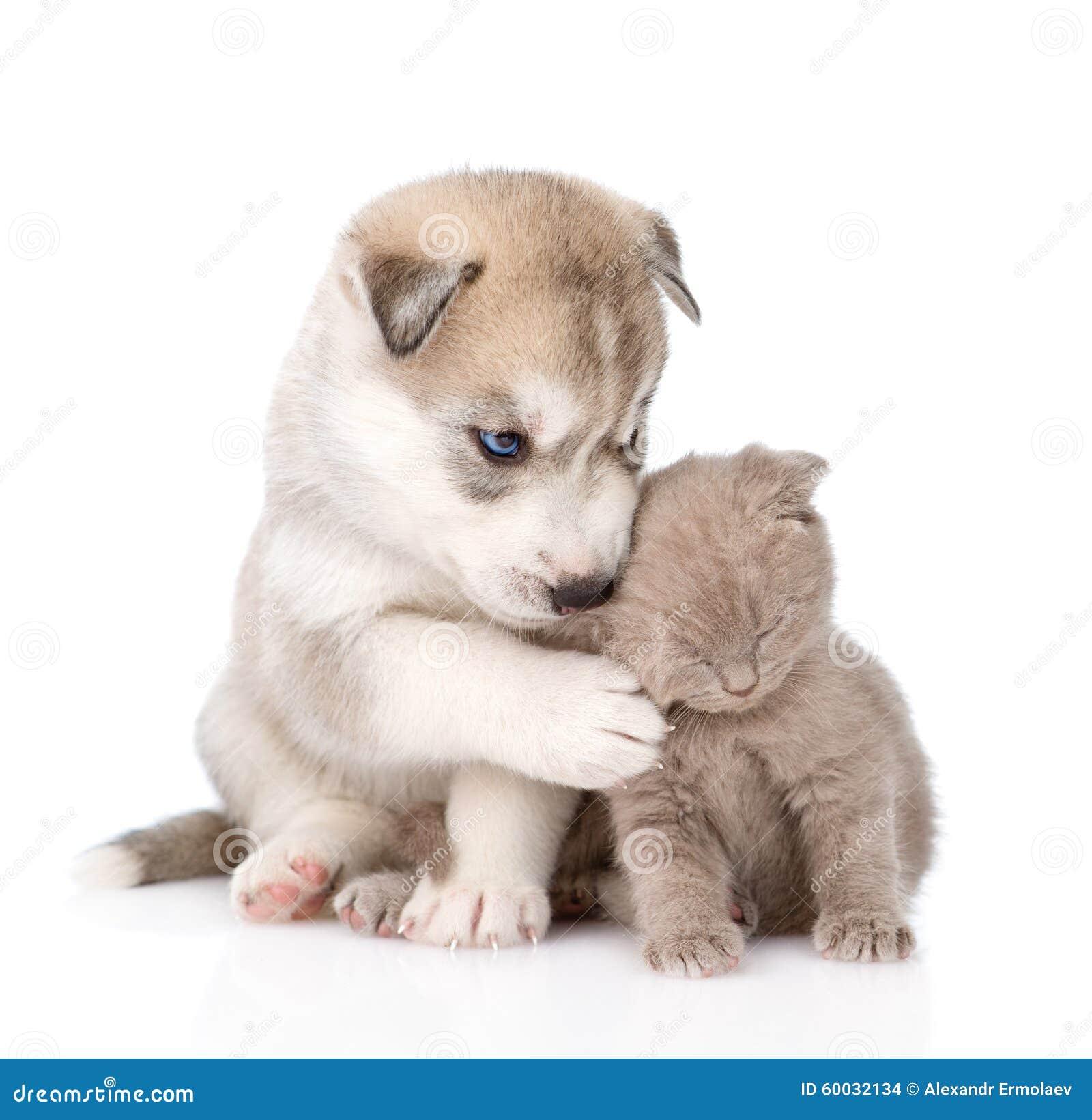 小色狗和猫交配_苏格兰小猫和一起西伯利亚爱斯基摩人小狗隔绝库存照片.图片