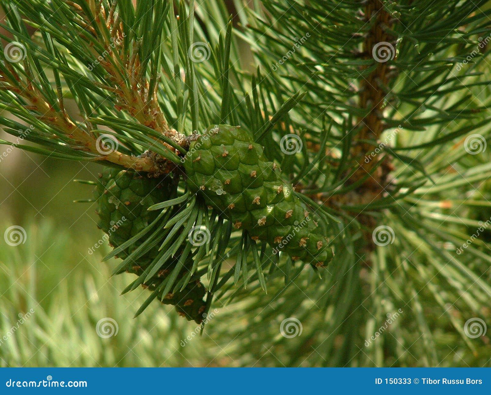 苏格兰语锥体的杉木