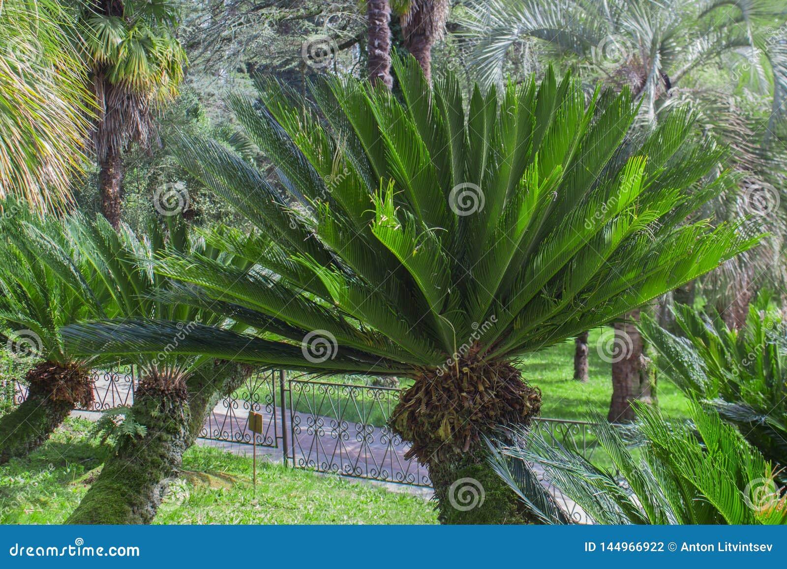 苏铁属Revoluta植物在索契Dendrarium在春天