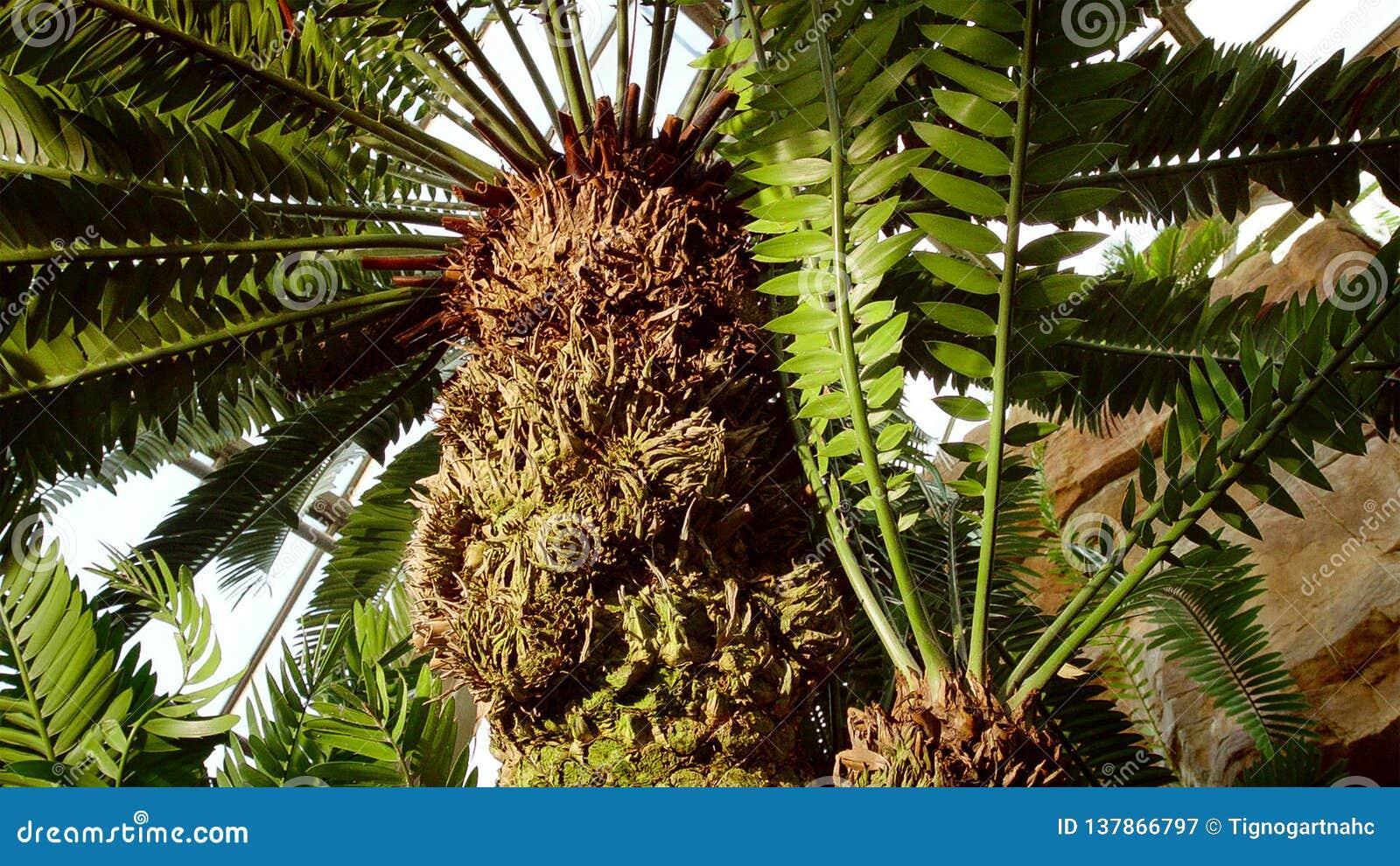 苏铁科的植物属于为恐龙一定提供食物的家庭 这是非常古老植物类,可能找到