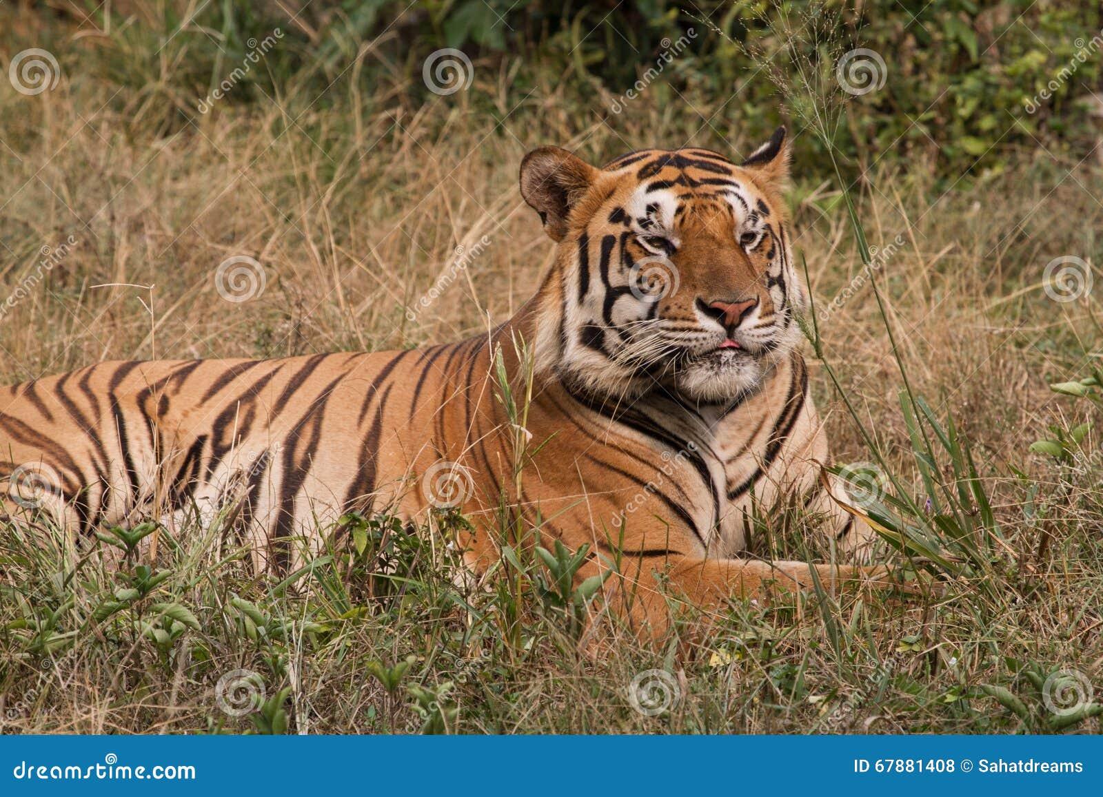 苏门答腊老虎在草说谎