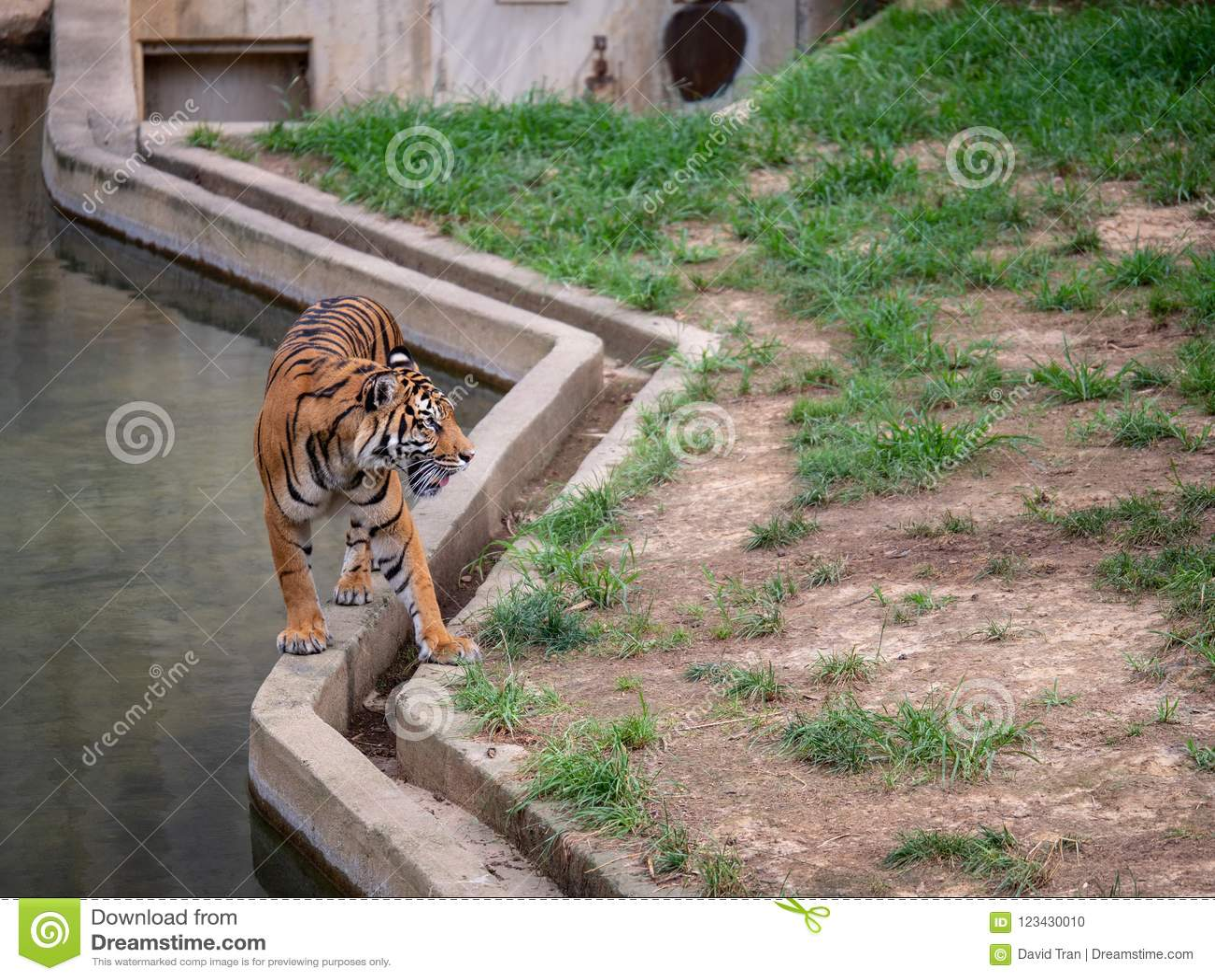 苏门答腊老虎豹属底格里斯河sondaica沿水泥路障走在动物园封入物