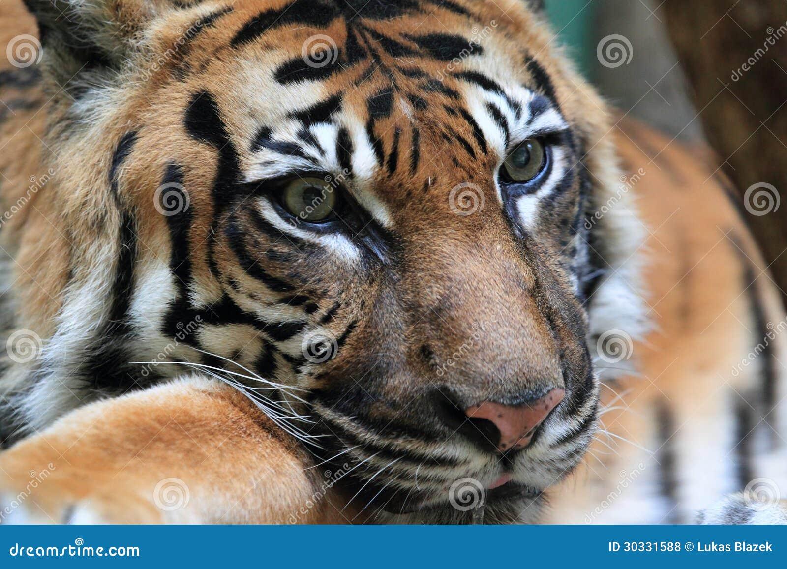苏门答腊老虎