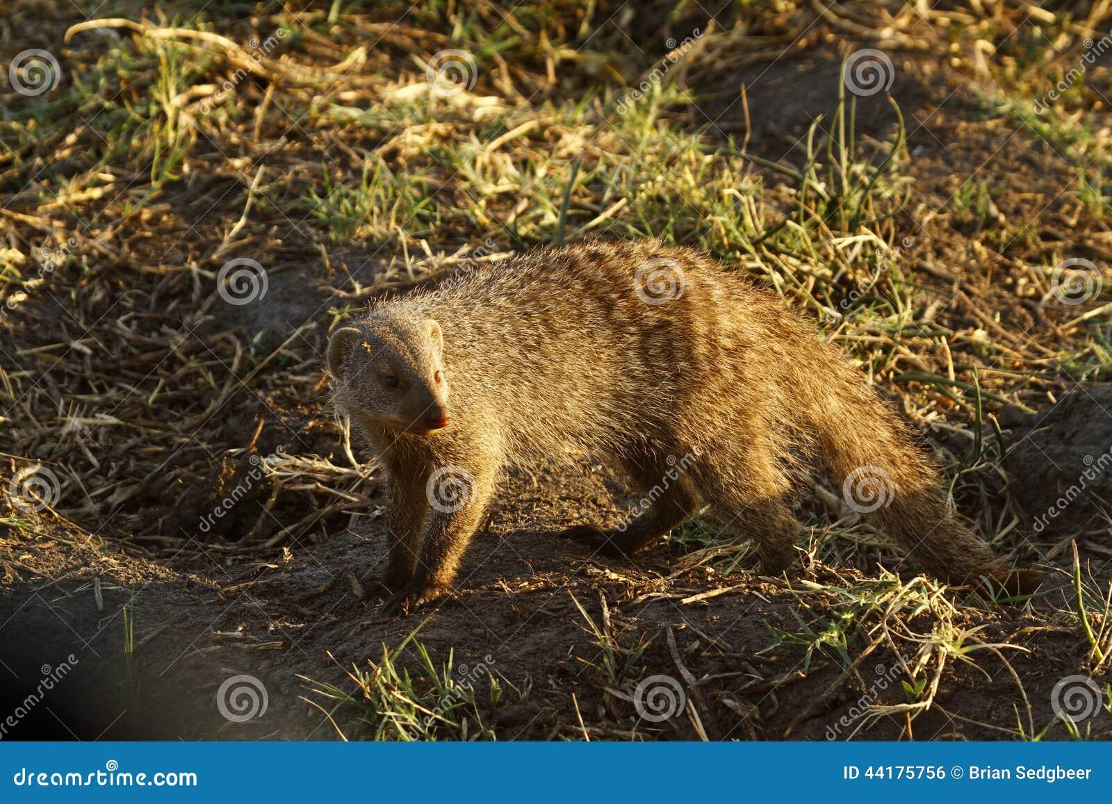 苗条的猫鼬