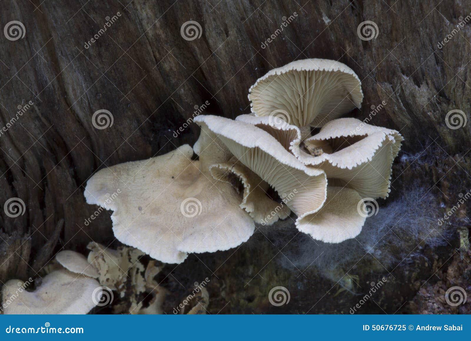 Download 苦涩蚝蘑 库存图片. 图片 包括有 苦汁, 黄色, 的treadled, 焕发, 黑暗, 牡蛎, 蘑菇, 两足动物 - 50676725