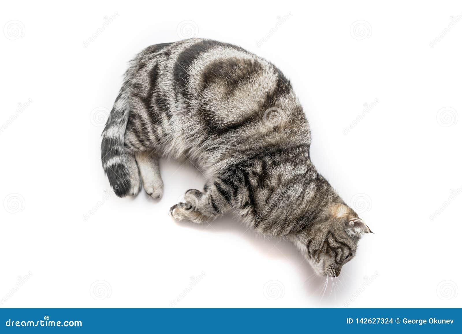 英俊的黑银色提出垂悬在边缘的平纹英国Shorthair猫隔绝在白色背景