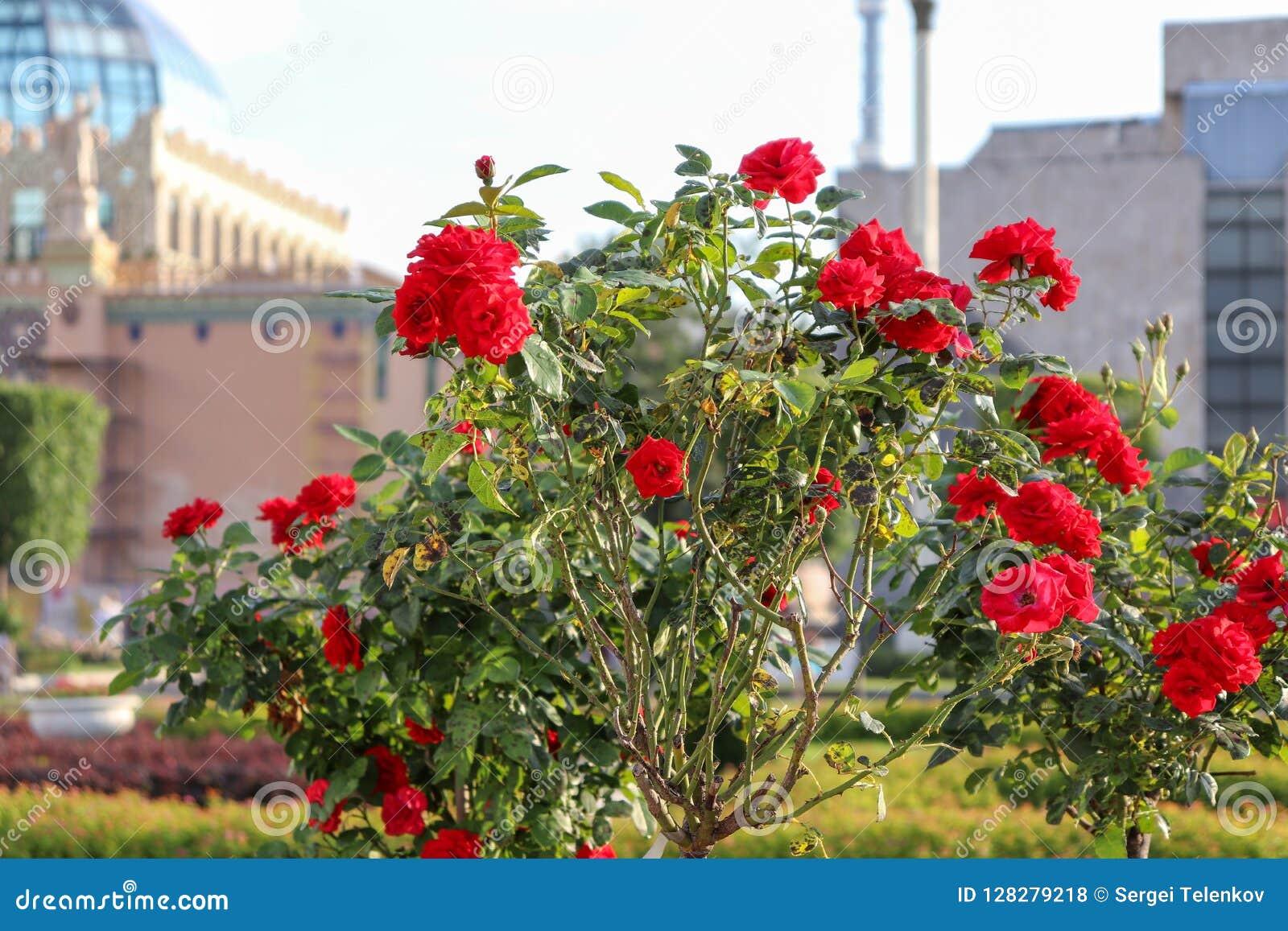 英国兰开斯特家族族徽的布什在大厦背景的  与绿色叶子的美丽的玫瑰特写镜头在高茎