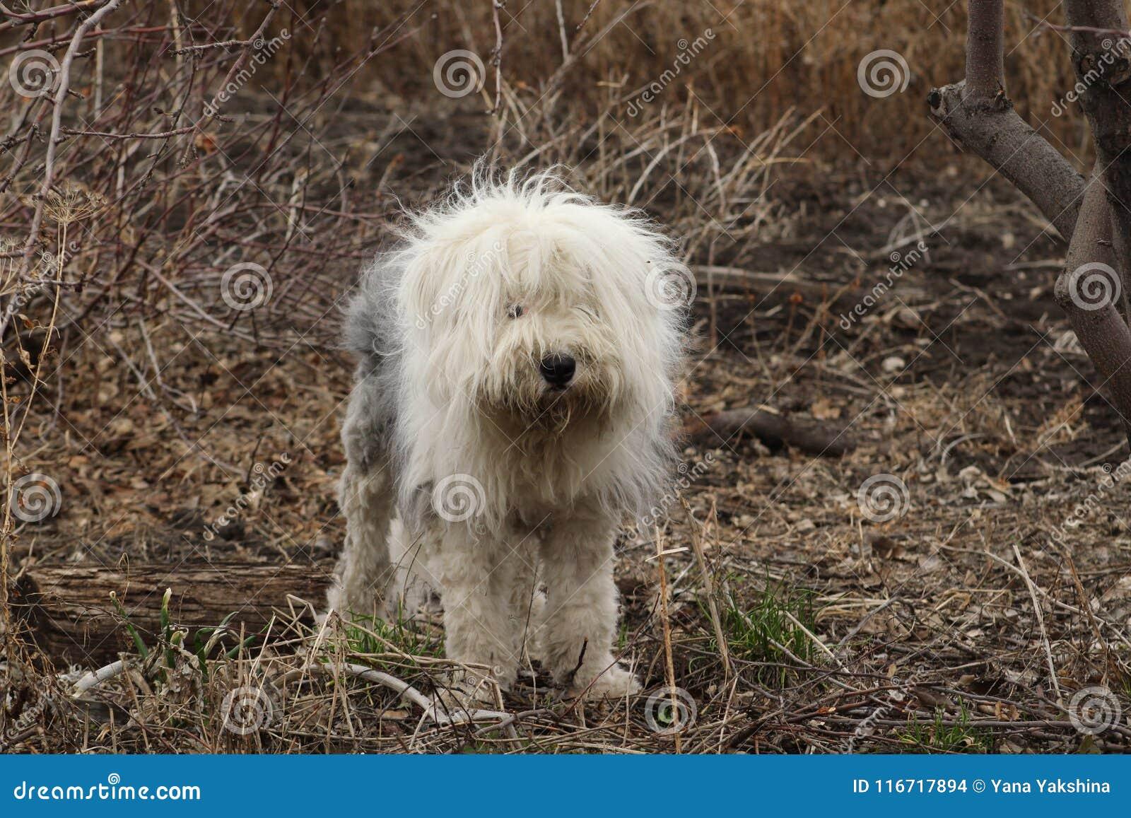 英国护羊狗