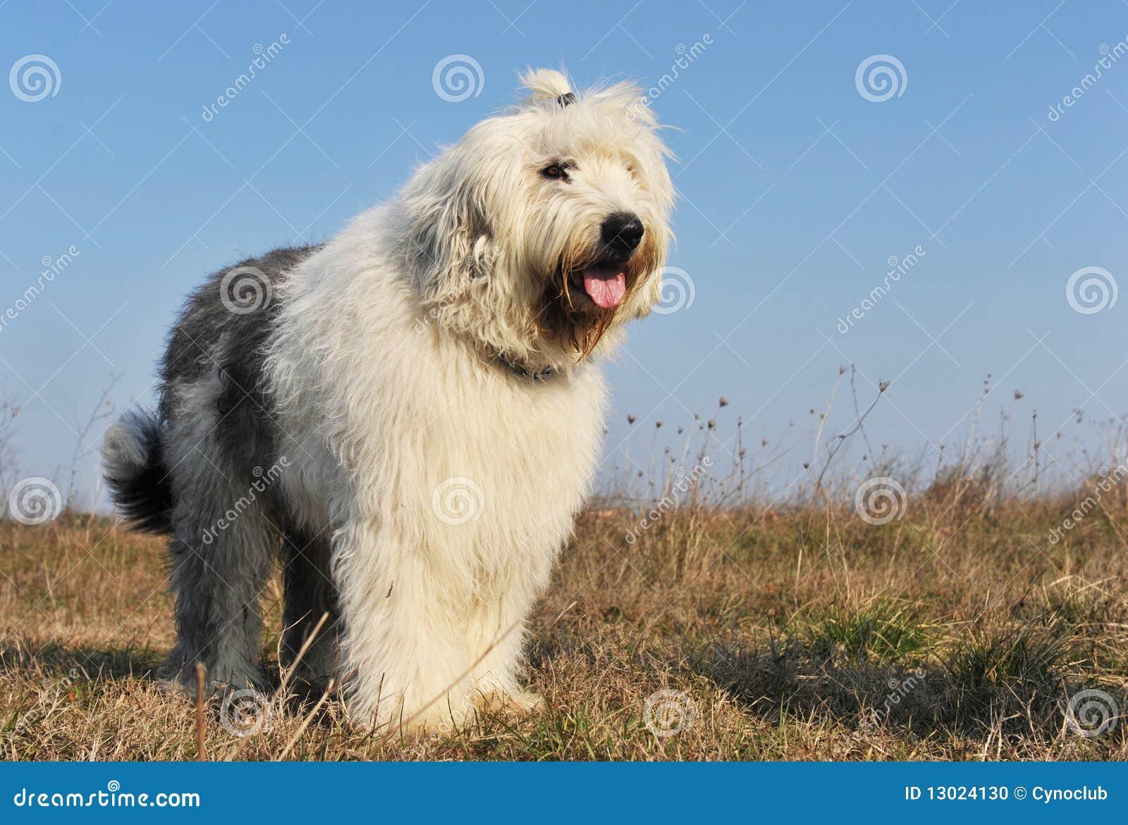 英国老护羊狗