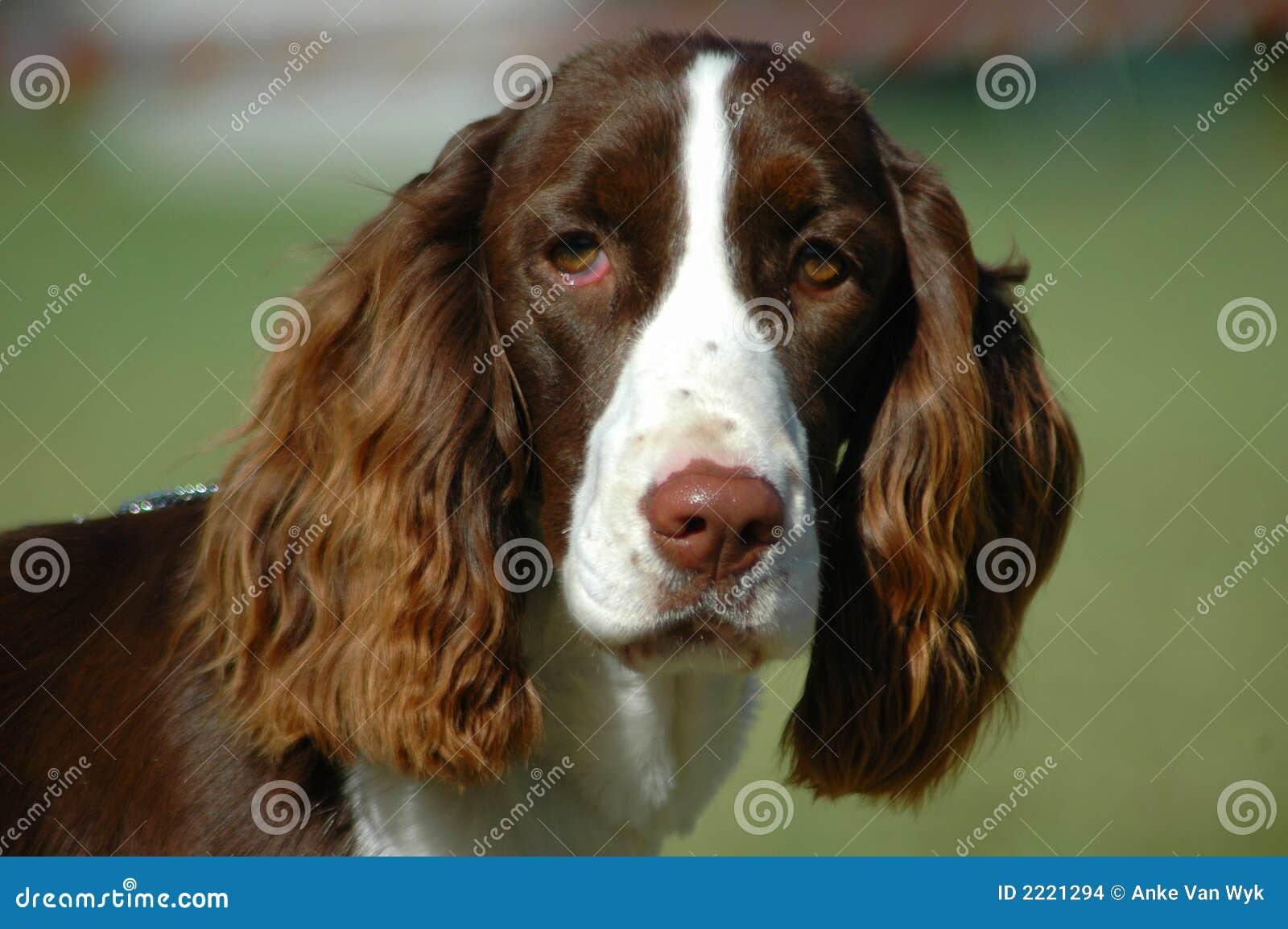 英国西班牙猎狗蹦跳的人