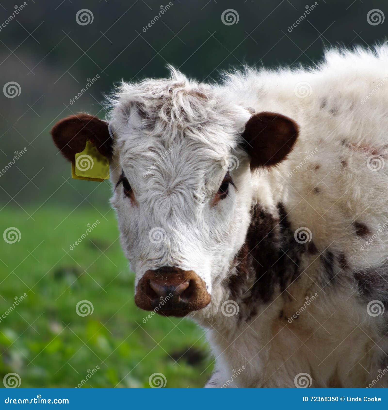 英国长角牛小牛