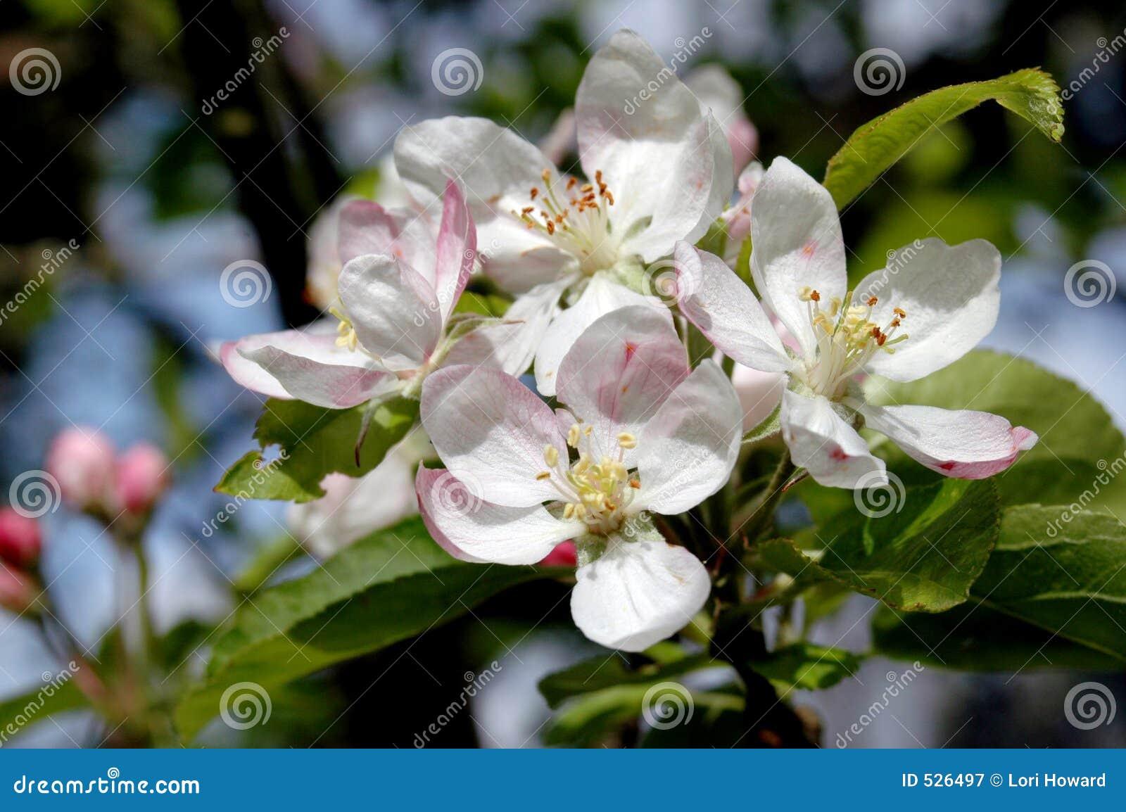 Download 苹果开花 库存图片. 图片 包括有 本质, 叶子, 结构树, 绿色, 农场, 开花的, 雄芯花蕊, 春天, 晴朗 - 526497