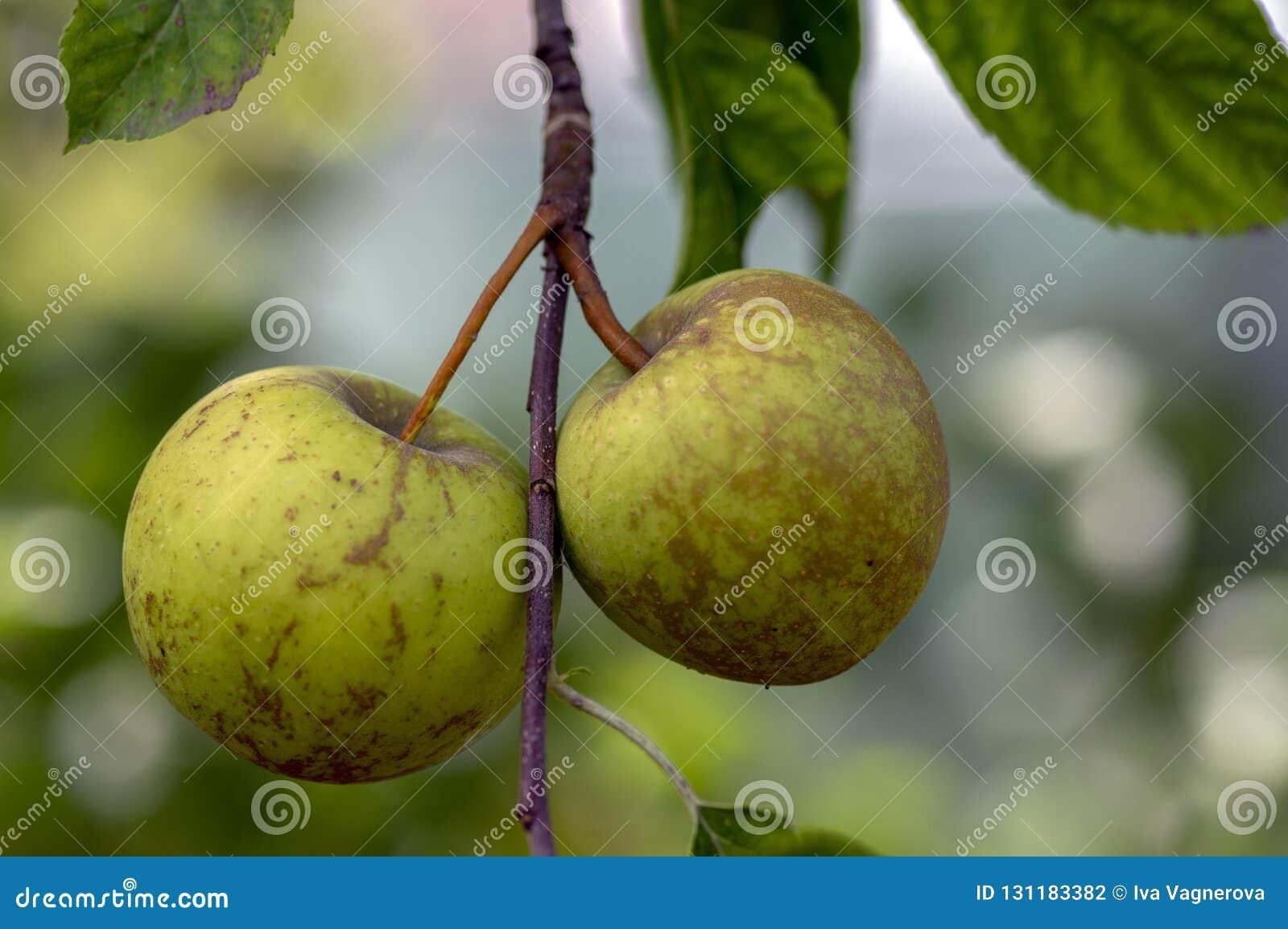 苹果树分支与小组的罗盘星座pumila成熟的果子,绿色极品苹果
